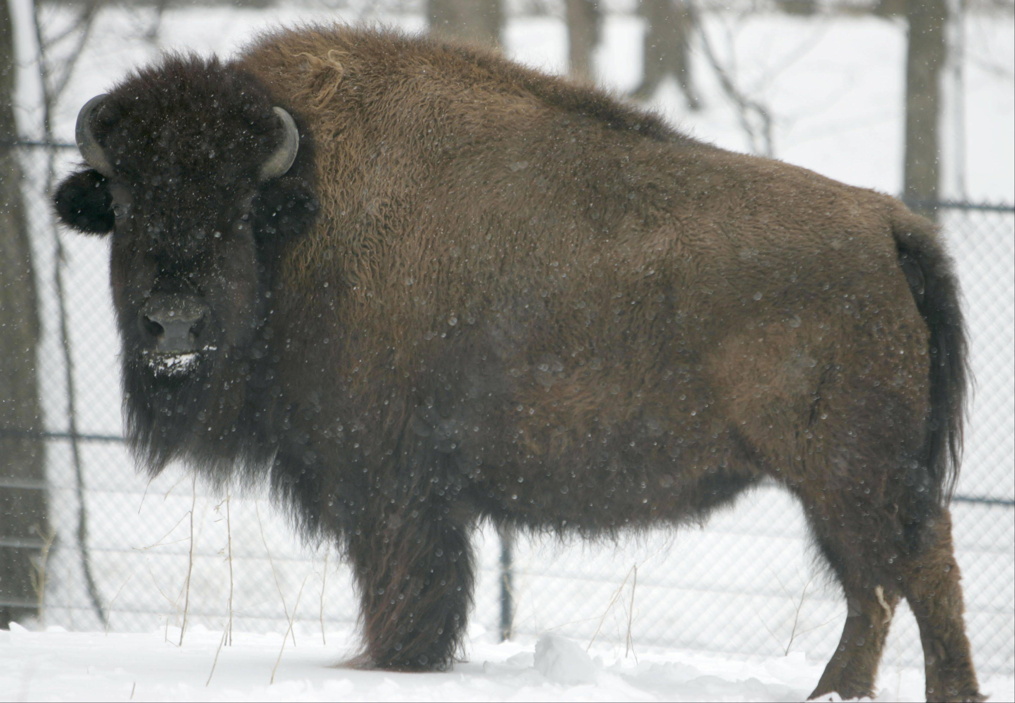 Becky is one of two new bison that arrived Thursday at Lord's Park Zoo in Elgin from Brookfield Zoo. The newcomers are getting along with Pokey, the Elgin zoo's longtime bison who lost her companions in 2010 and 2011.