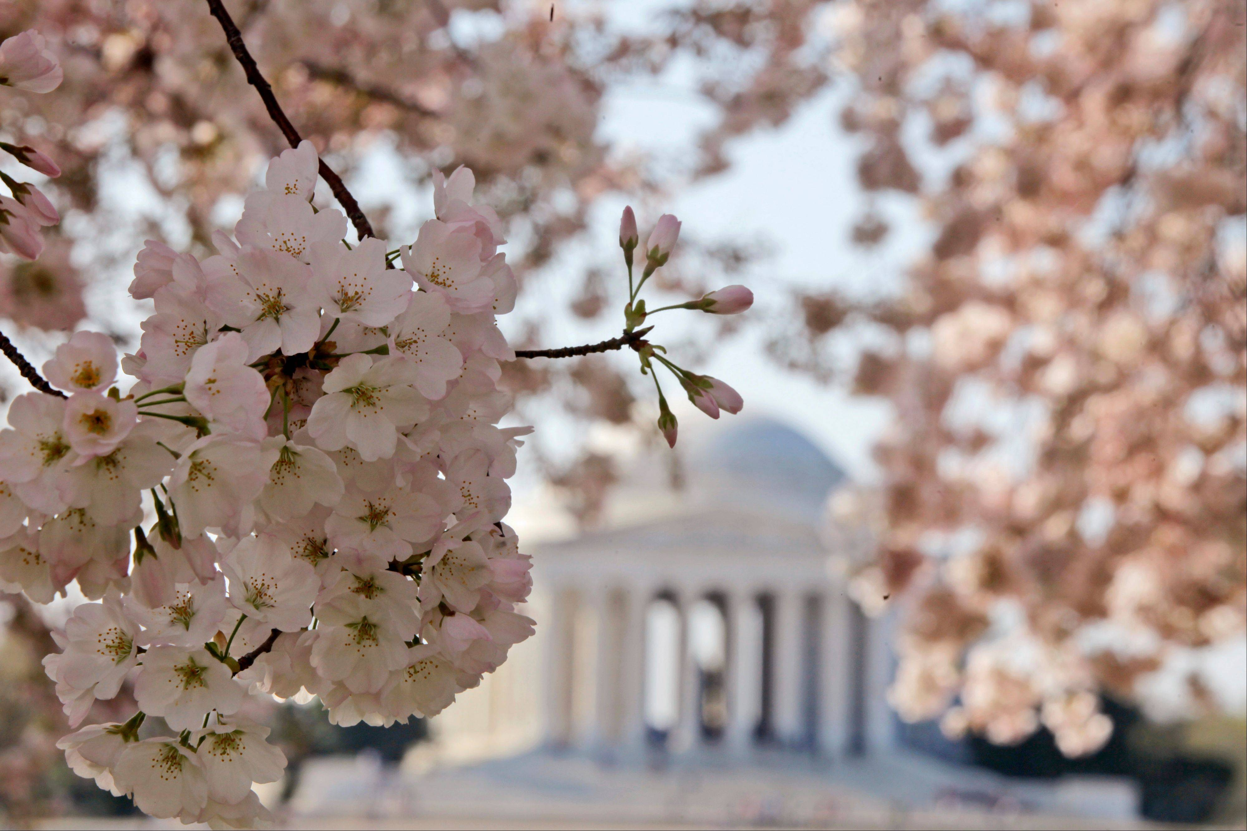 Blooming cherry blossoms frame the Jefferson Memorial on the Tidal Basin in Washington. The bloom season is one of a number around the country this spring celebrating flowers in season.