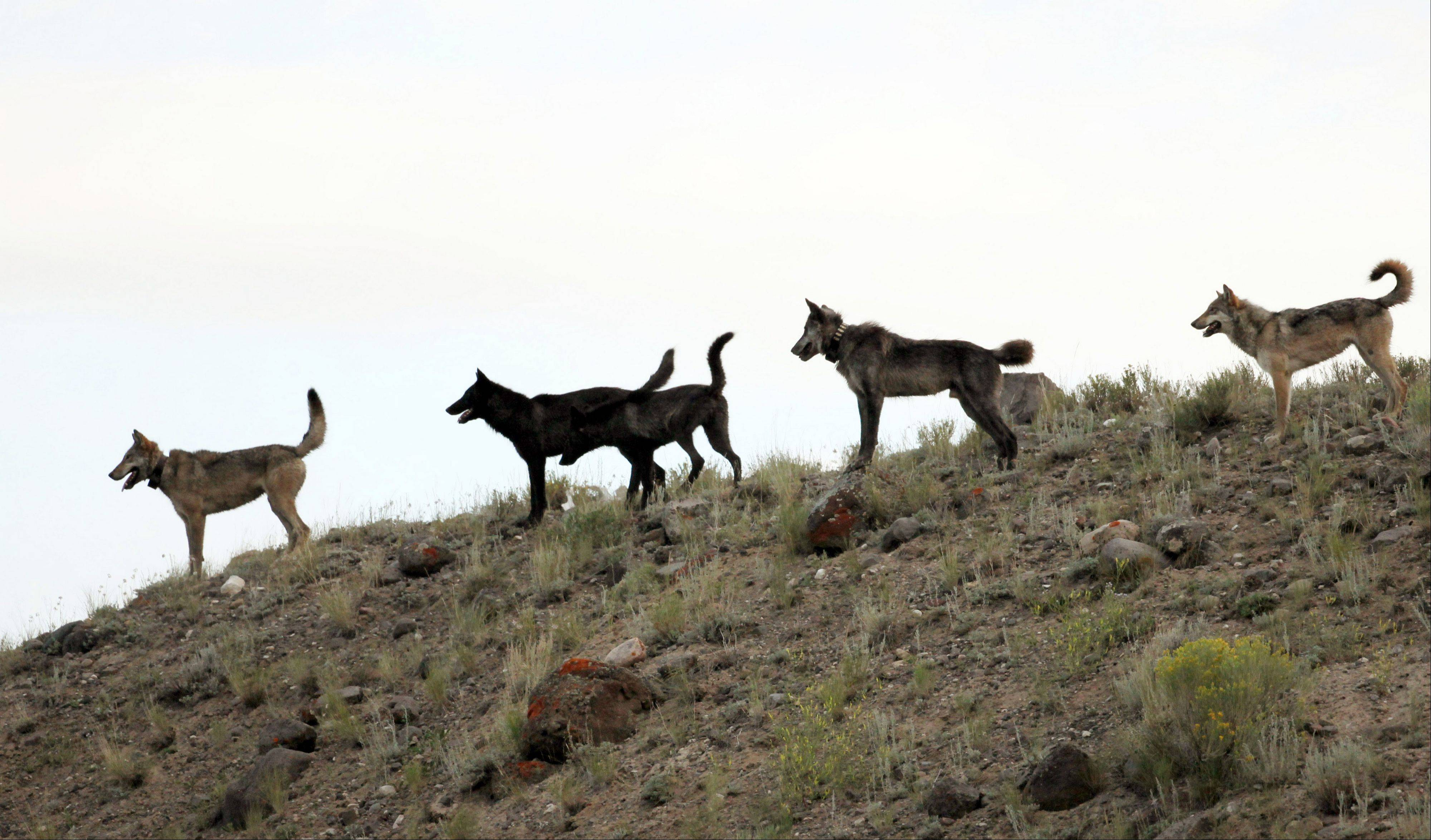 The Lamar Canyon wolf pack moves on a hillside in Yellowstone National Park, Wyo.
