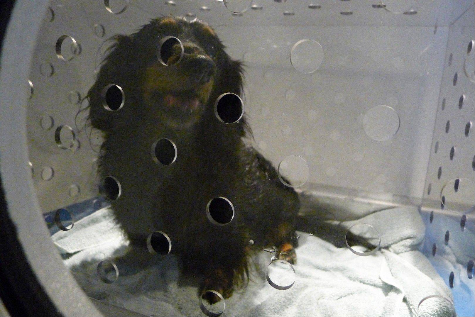 A dachshund named Maggie awaits treatment in the hyperbaric chamber at the University of Florida's College of Veterinary Medicine, in Gainesville, Fla.