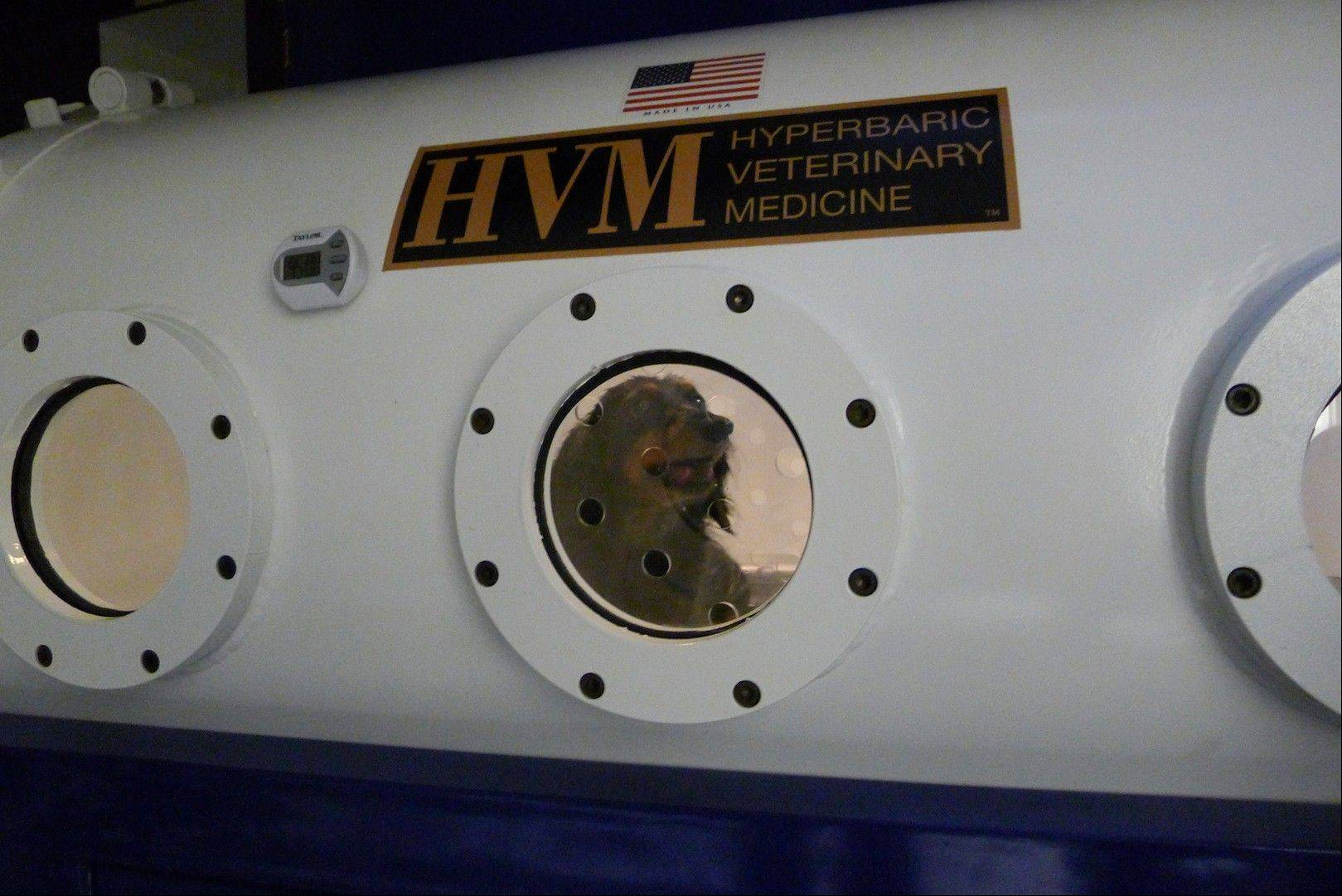 A dachshund named Maggie is treated in a hyperbaric chamber for an infection and paw wound at the University of Florida's College of Veterinary Medicine, in Gainesville, Fla.