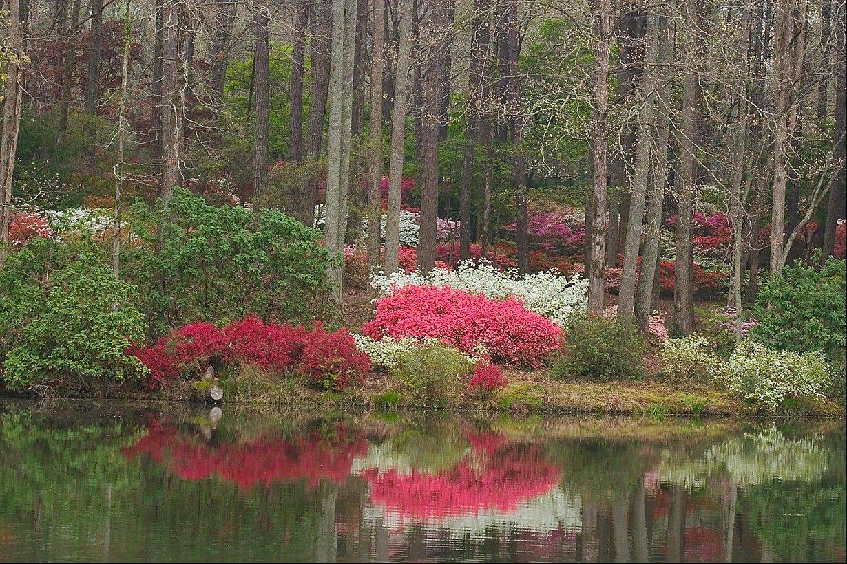 Callaway Gardens in Pine Mountain, Ga., features azaleas in bloom at Callaway's Overlook Garden.