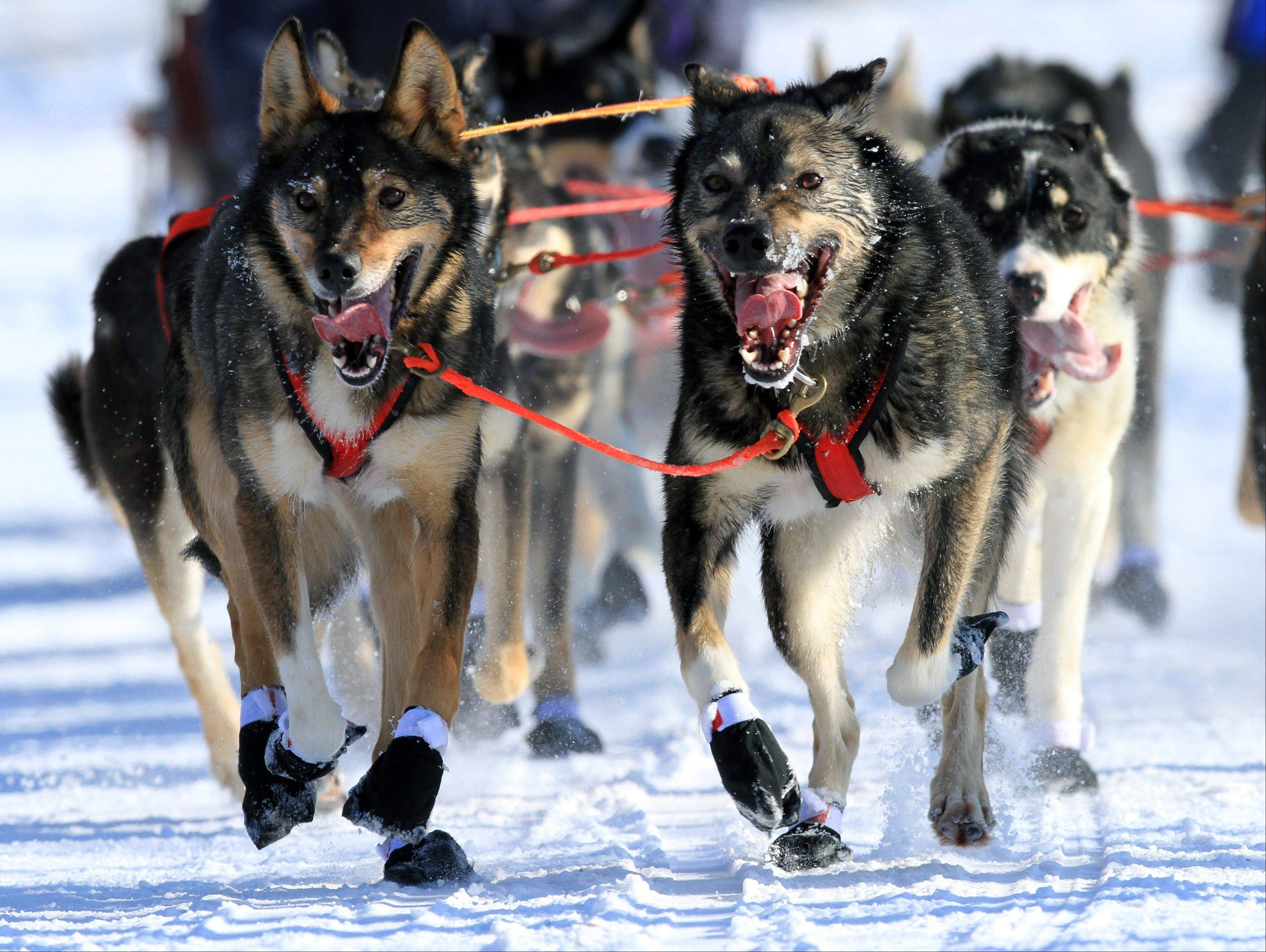 The ceremonial start of the Iditarod Trail Sled Dog Race was Saturday in Anchorage, Alaska. The 1,000-mile race begins Sunday in Willow, Alaska. Among this year's mushers is Charley Bejna of Addison.