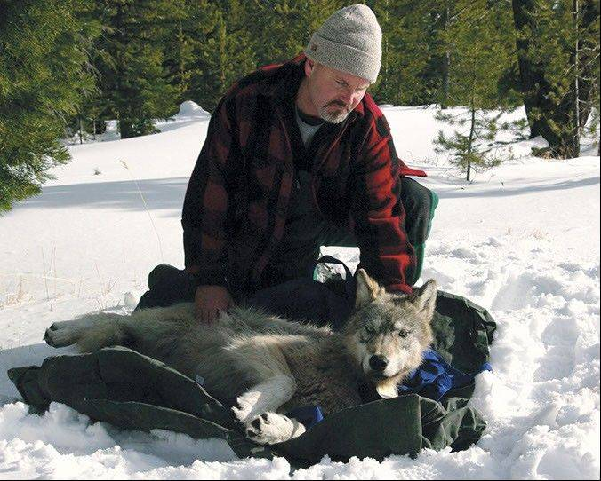 Associated Press/Feb. 13, 2010 Wolf coordinator Russ Morgan with a female wolf pup just fitted with a radio collar in northeastern Oregon.