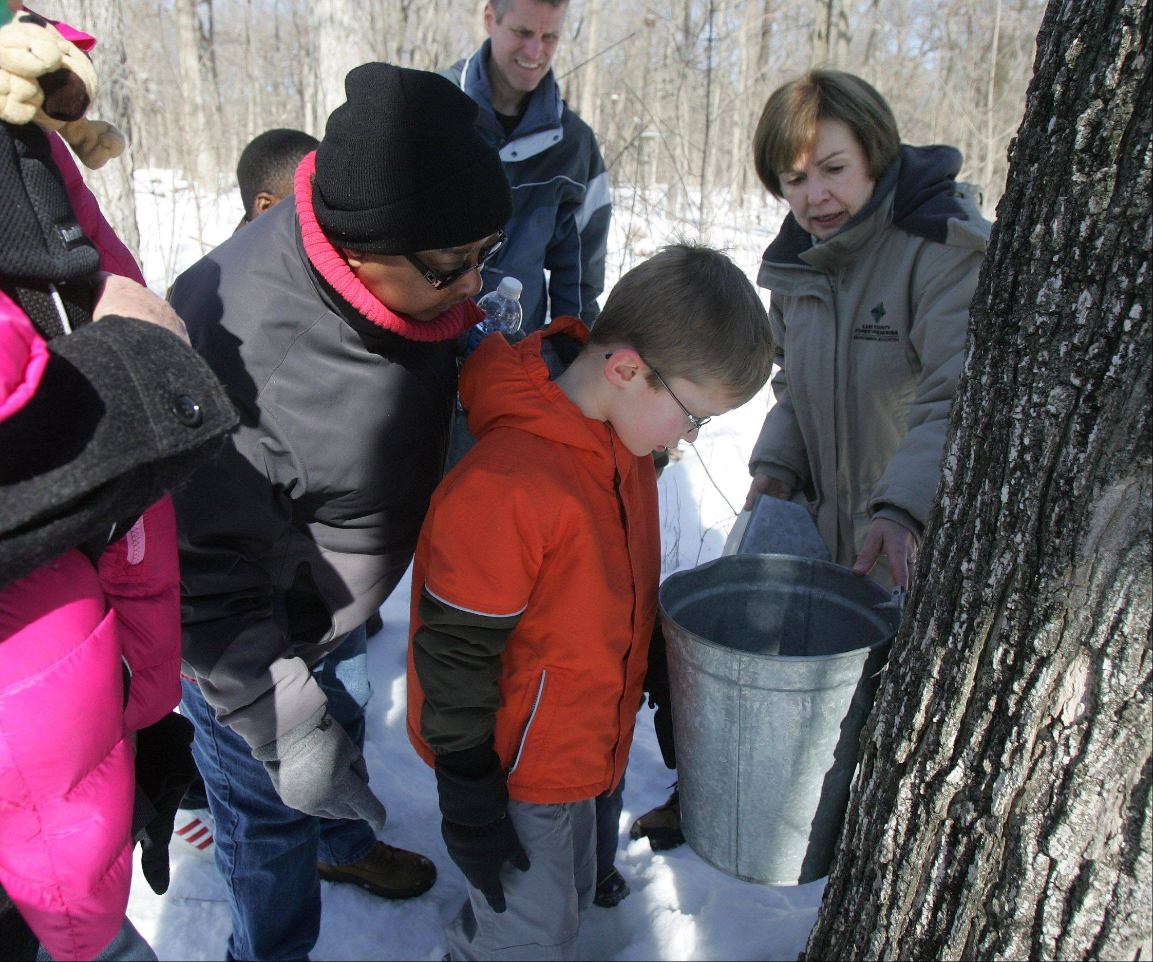 Nature guide June Melber, right, shows a pail collecting syrup from a maple tree Sunday during the Maple Syrup Hike at Ryerson Woods in Riverwoods.