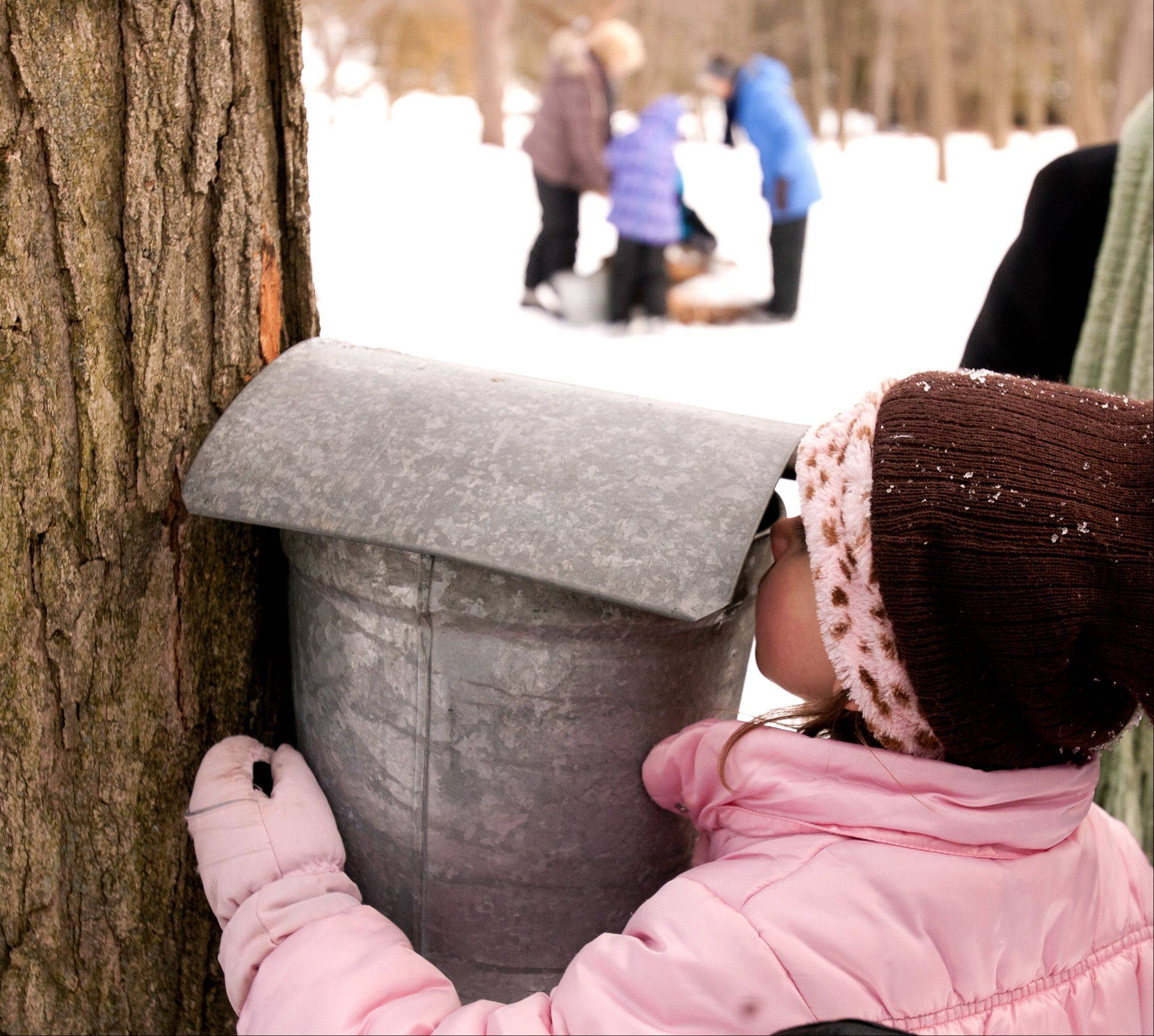 Ellie Pinfo, 5, of Wheaton looks up close at frozen sap during the maple tapping education at the Morton Arboretum.