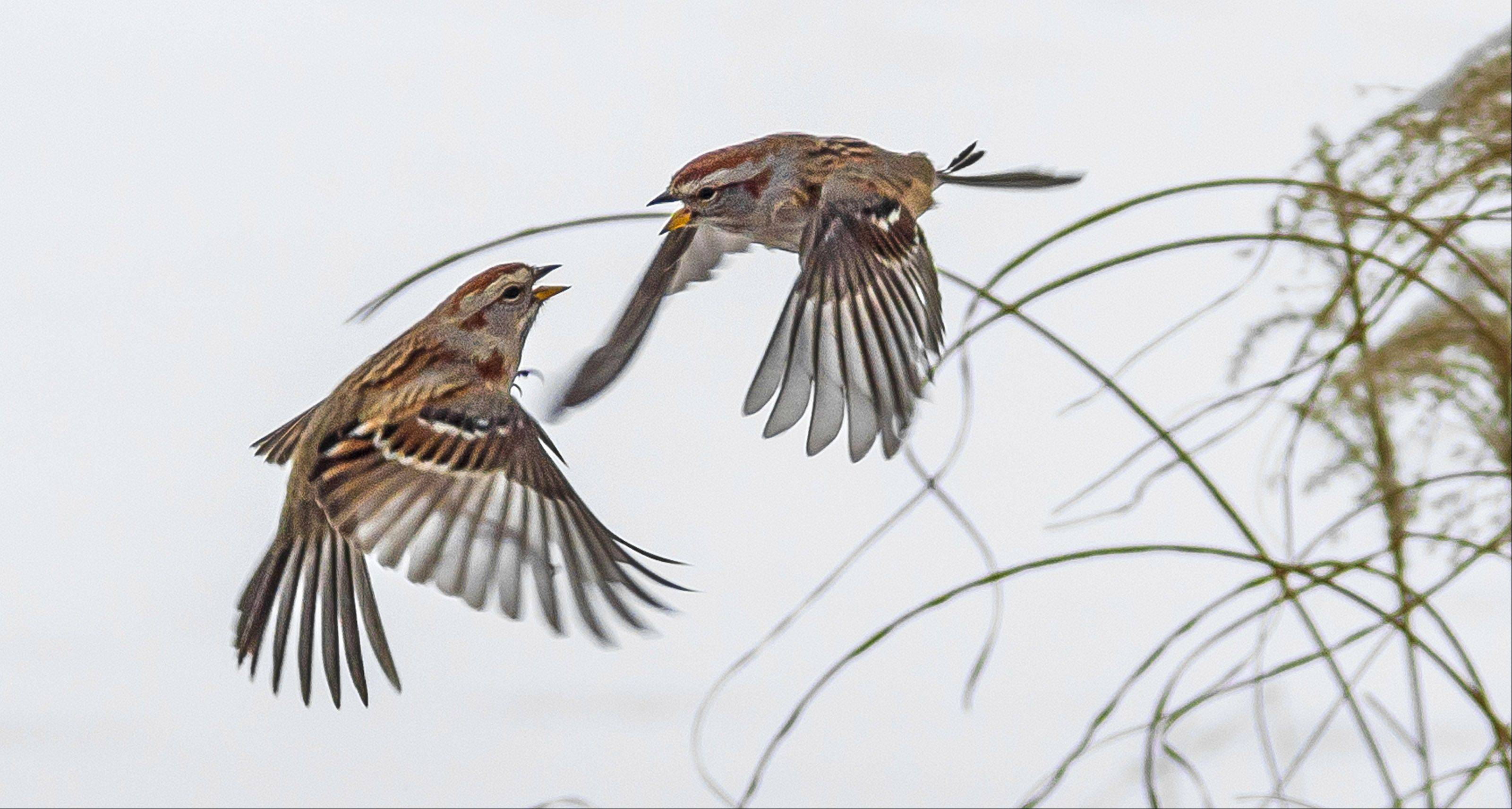 Dori Eldridge of Naperville won first prize in our February Photo Finish contest with this image of an altercation between two American tree sparrows.