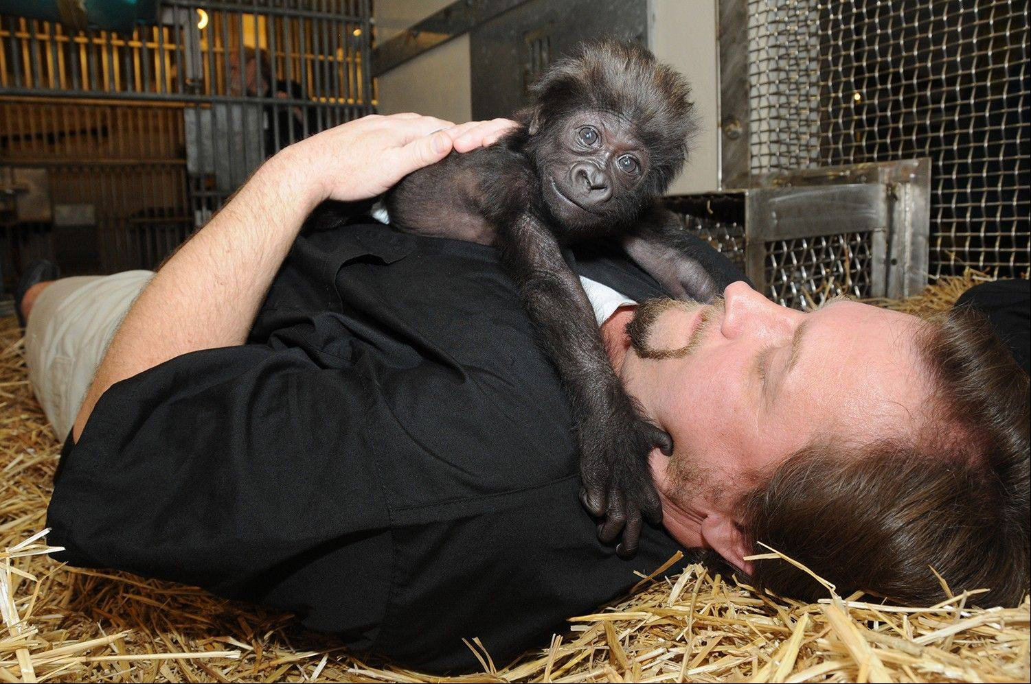 Ron Evans, Primate Center Team Leader at the zoo in Cincinnati, plays with a baby gorilla named Gladys the way a mother Western Lowland Gorilla would with her young. The baby gorilla was born Jan. 29 at a Texas zoo to a first-time mother who wouldn't care for her.