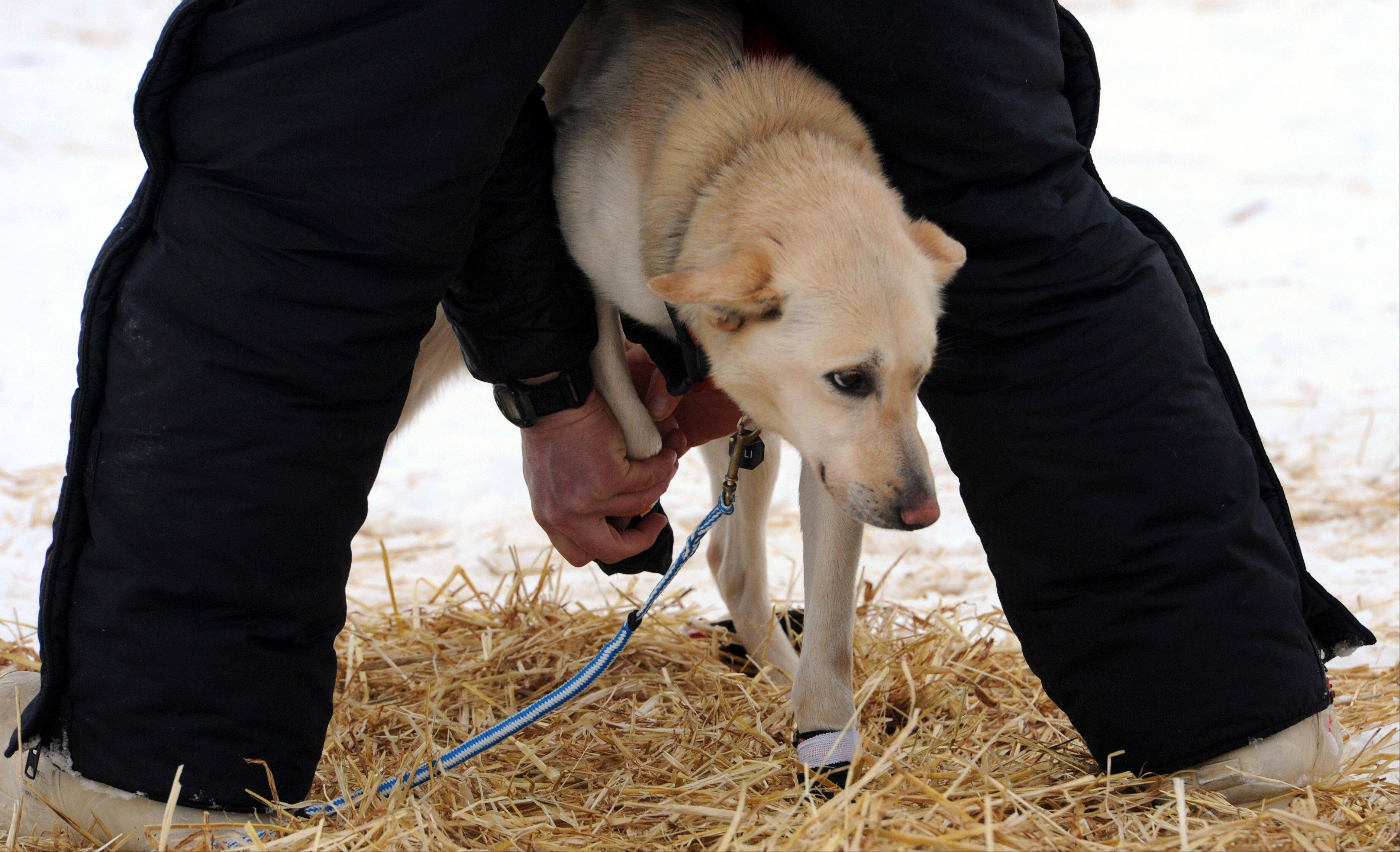 Matt Giblin puts booties on leader Kenya before leaving the Finger Lake checkpoint in Alaska during the Iditarod Trail Sled Dog Race on Monday, March 4, 2013.