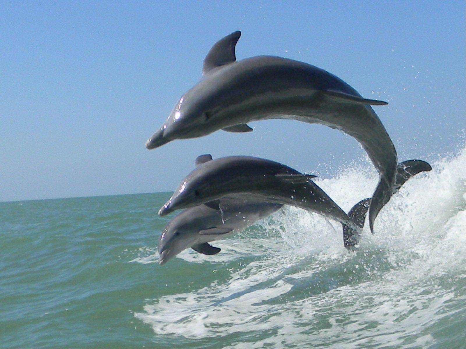 Dolphins play in the wake of a boat off the coast of Sanibel Island, Florida on February 7th.