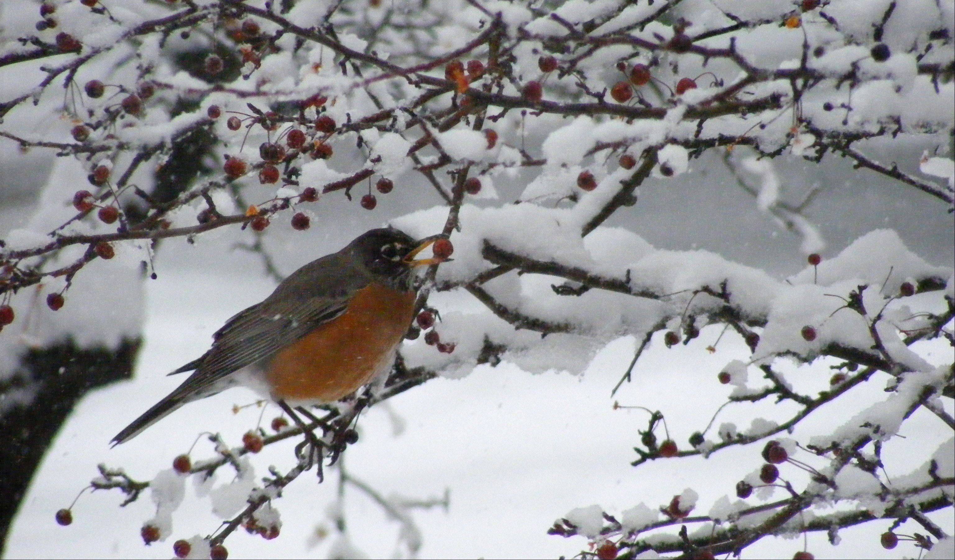 I took this picture from my kitchen window. At first glance I noticed some birds eating berries during the snowstorm, then I noticed the birds were robins!