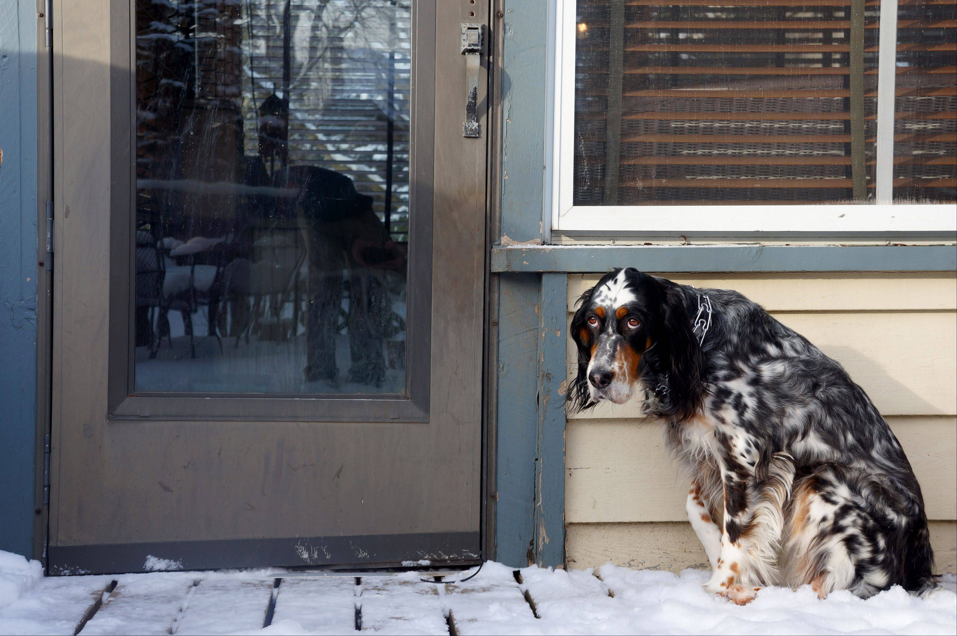 Fancy, an English Setter, waits by a Libertyville front door to escape the freezing air after last weeks snowstorm.