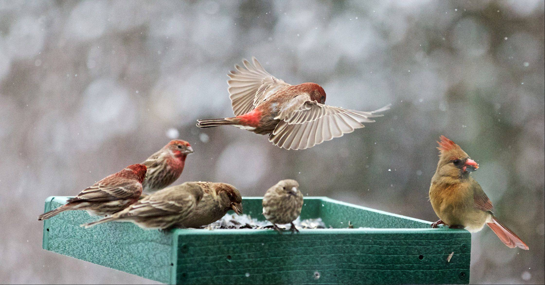 A Purple Finch comes in for a landing on a feeder in an Ingleside backyard last month.