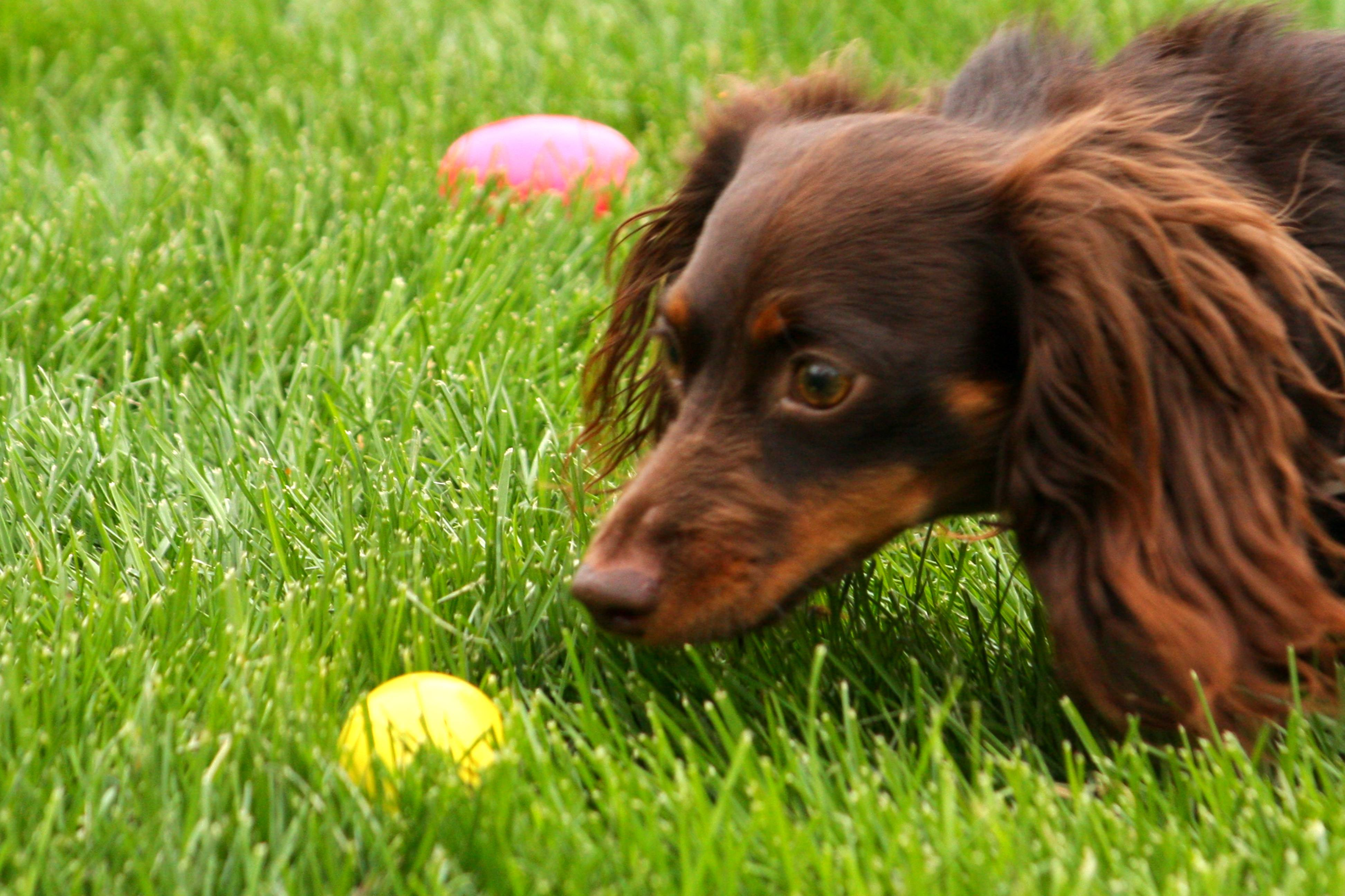 Dogs searched for treat filled eggs at the 2012 Hound Egg Hunt in Palatine.