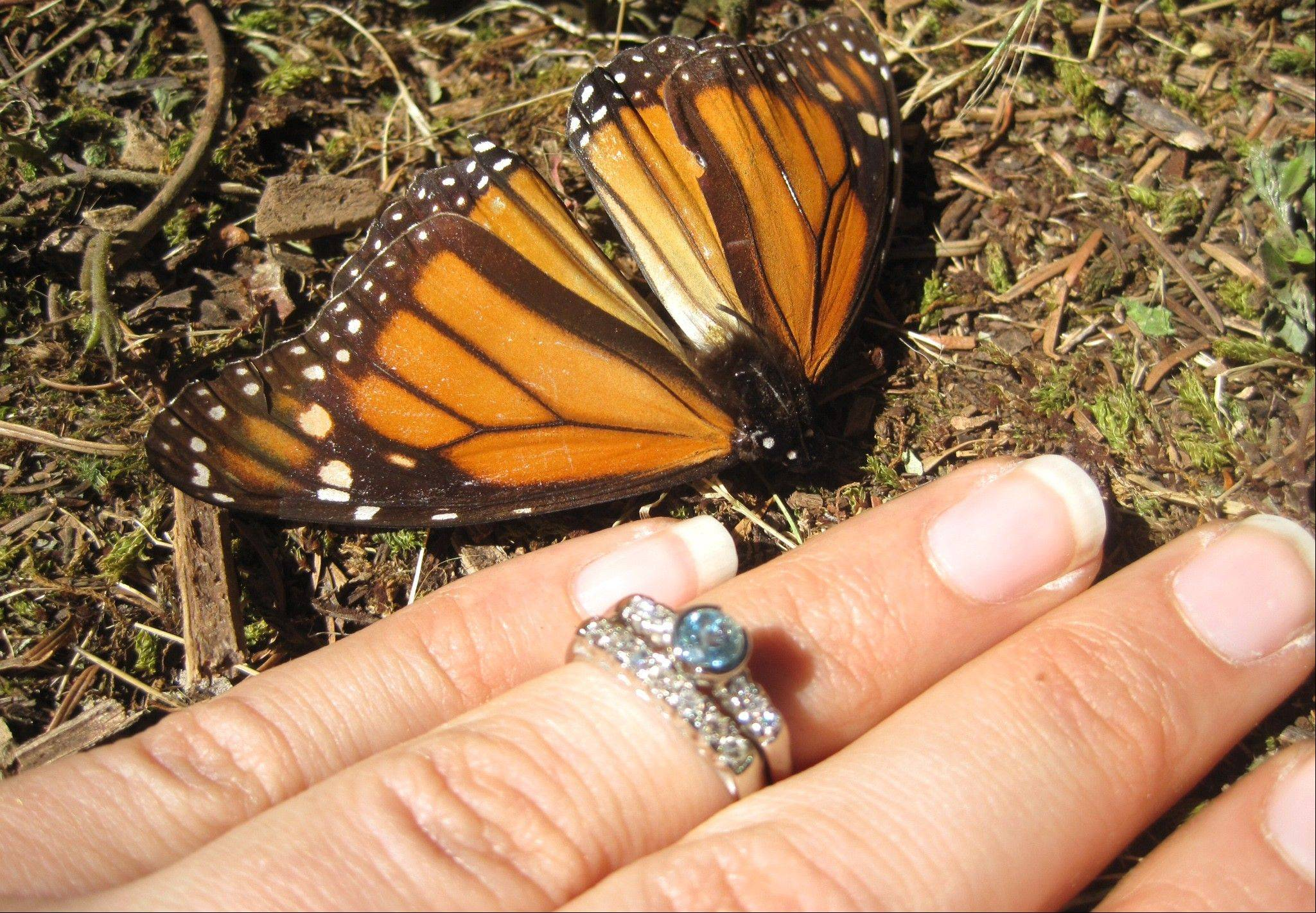 Samantha Goldberger showing off her engagement ring next to a Monarch butterfly soon after Jason Skipton proposed to her at El Capulin reserve, near Zitacuaro, Mexico. Skipton found the love of his life 2,000 miles from home in a chance encounter that gave him butterflies.