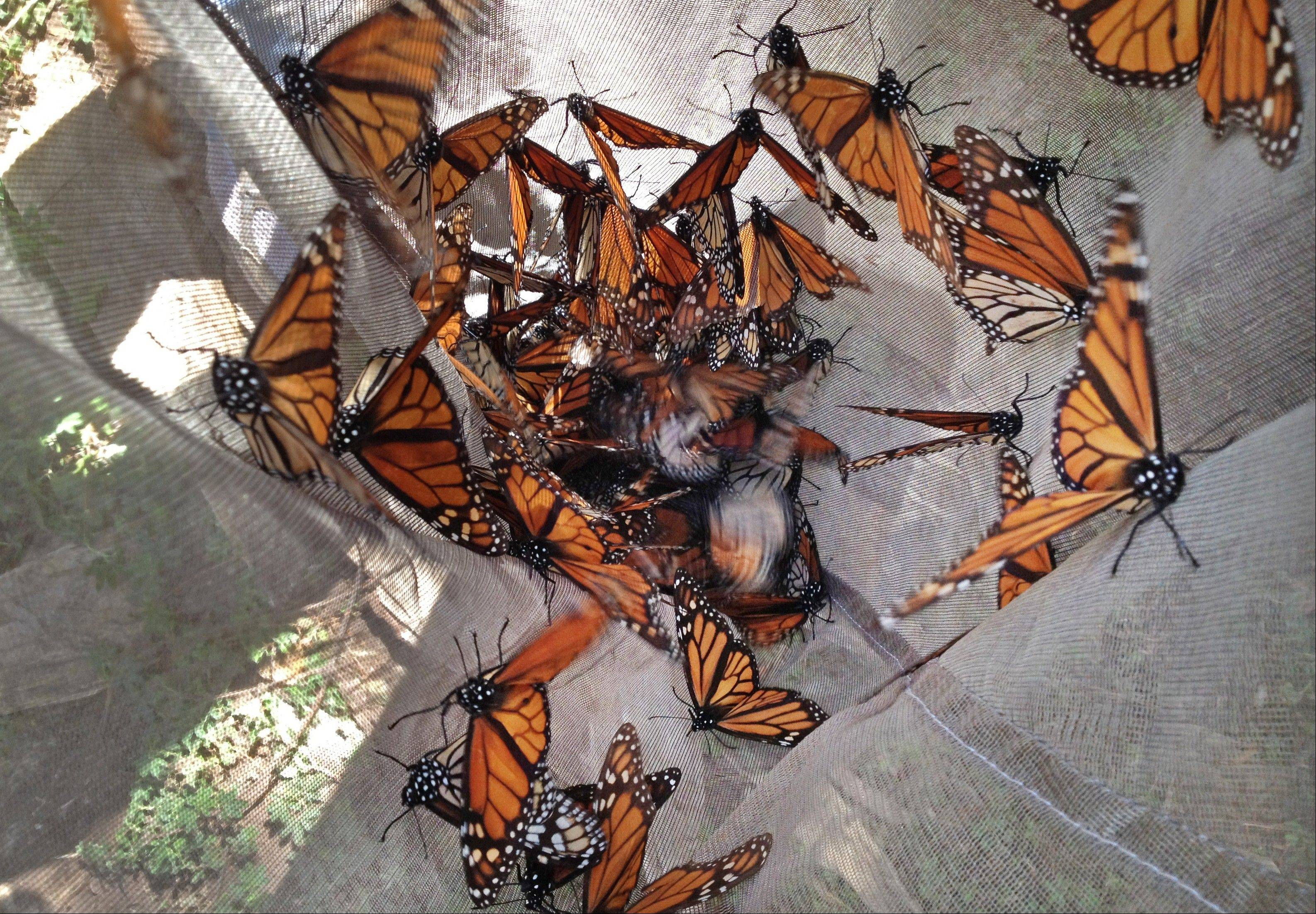 Monarch butterflies are collected in a net to be tested for the ophroyocystis elektroscirrha parasite that inhibits their flight, at El Capulin reserve, near Zitacuaro, Mexico. The tiger-striped butterflies arrive in late October and early November to hibernate in fir trees until February.