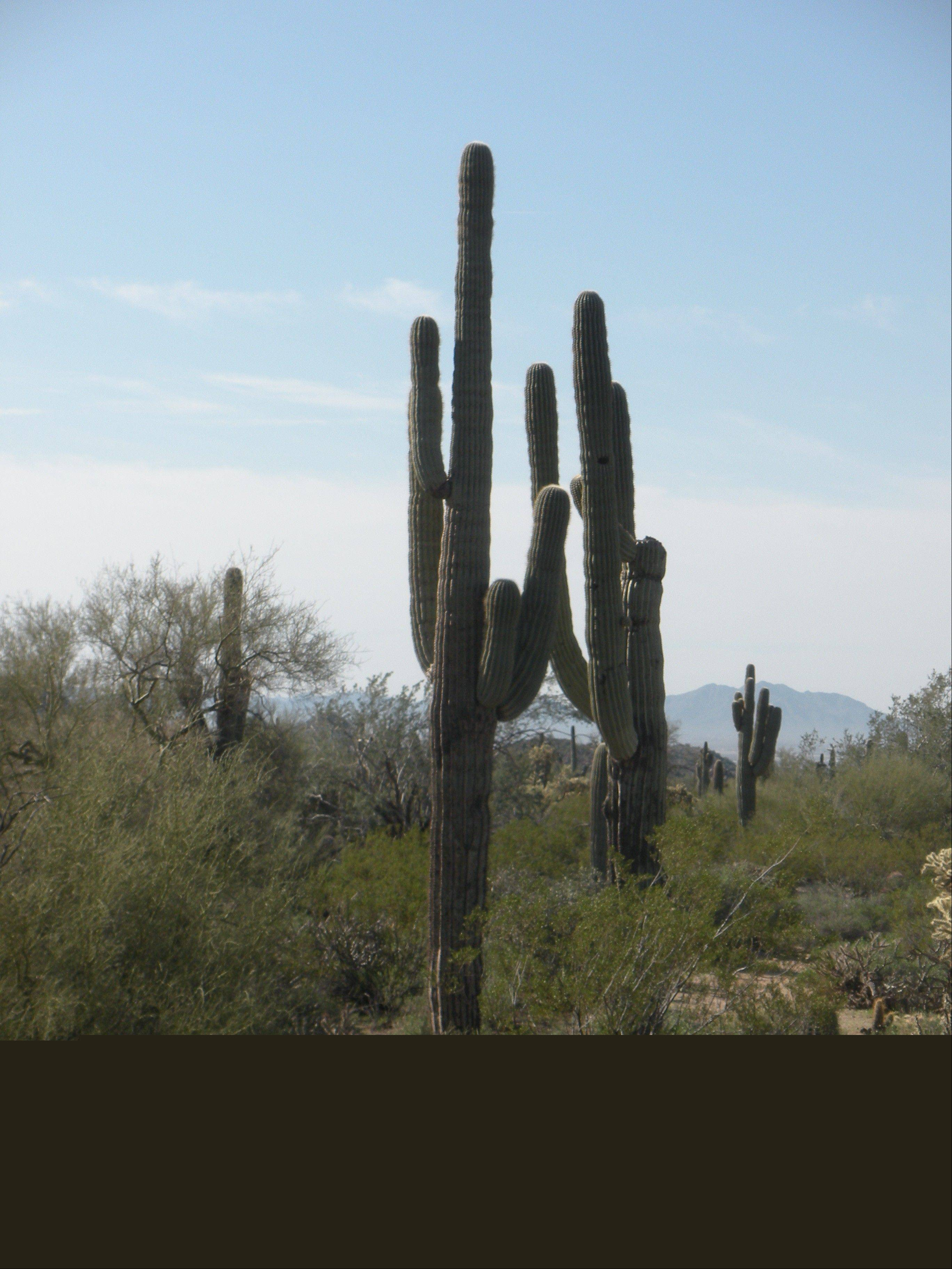 The statuesque saguaro cactus is the symbol of the Mesa region.