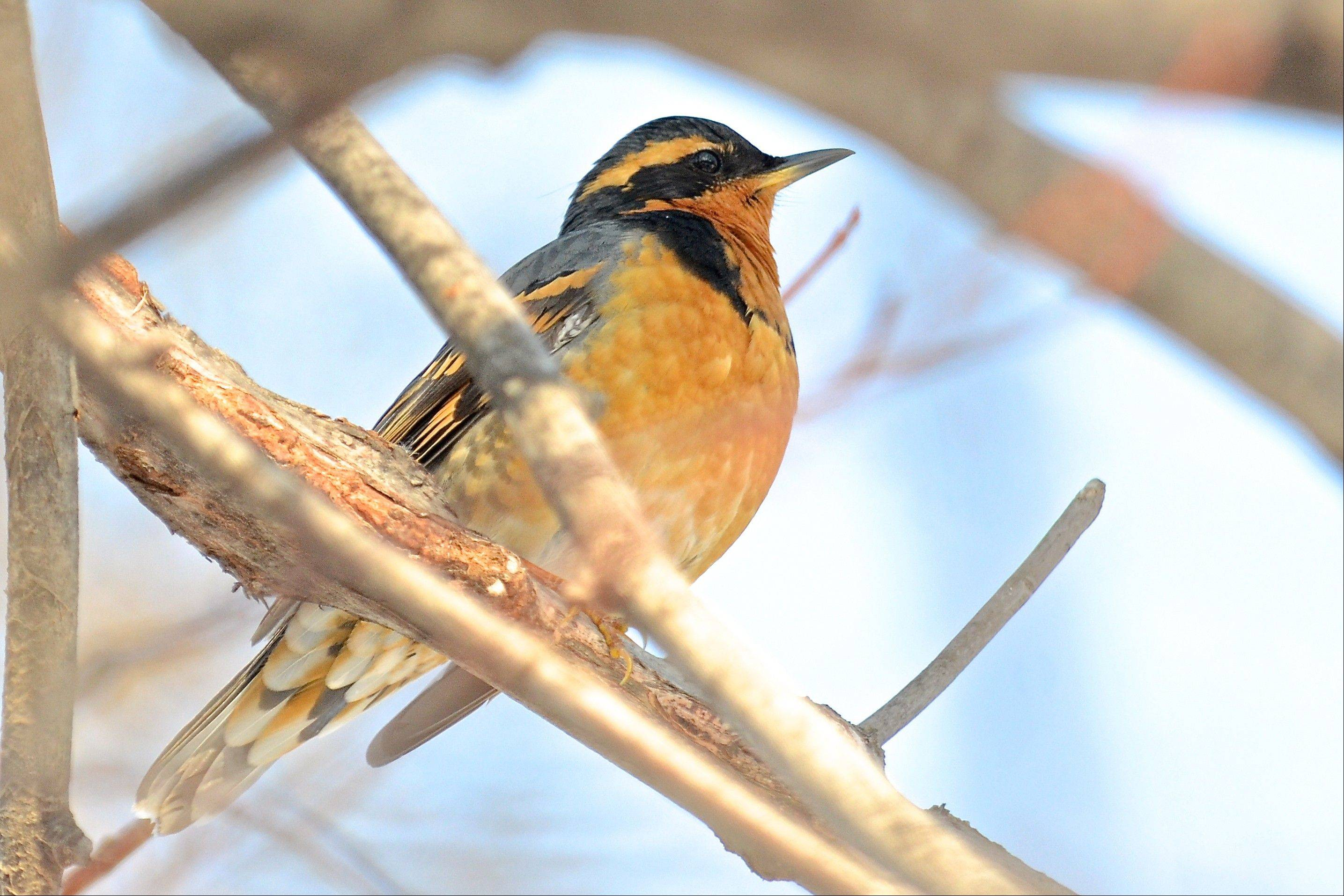 This male varied thrush, a rare visitor from the West, chose an Evanston backyard for a winter vacation.