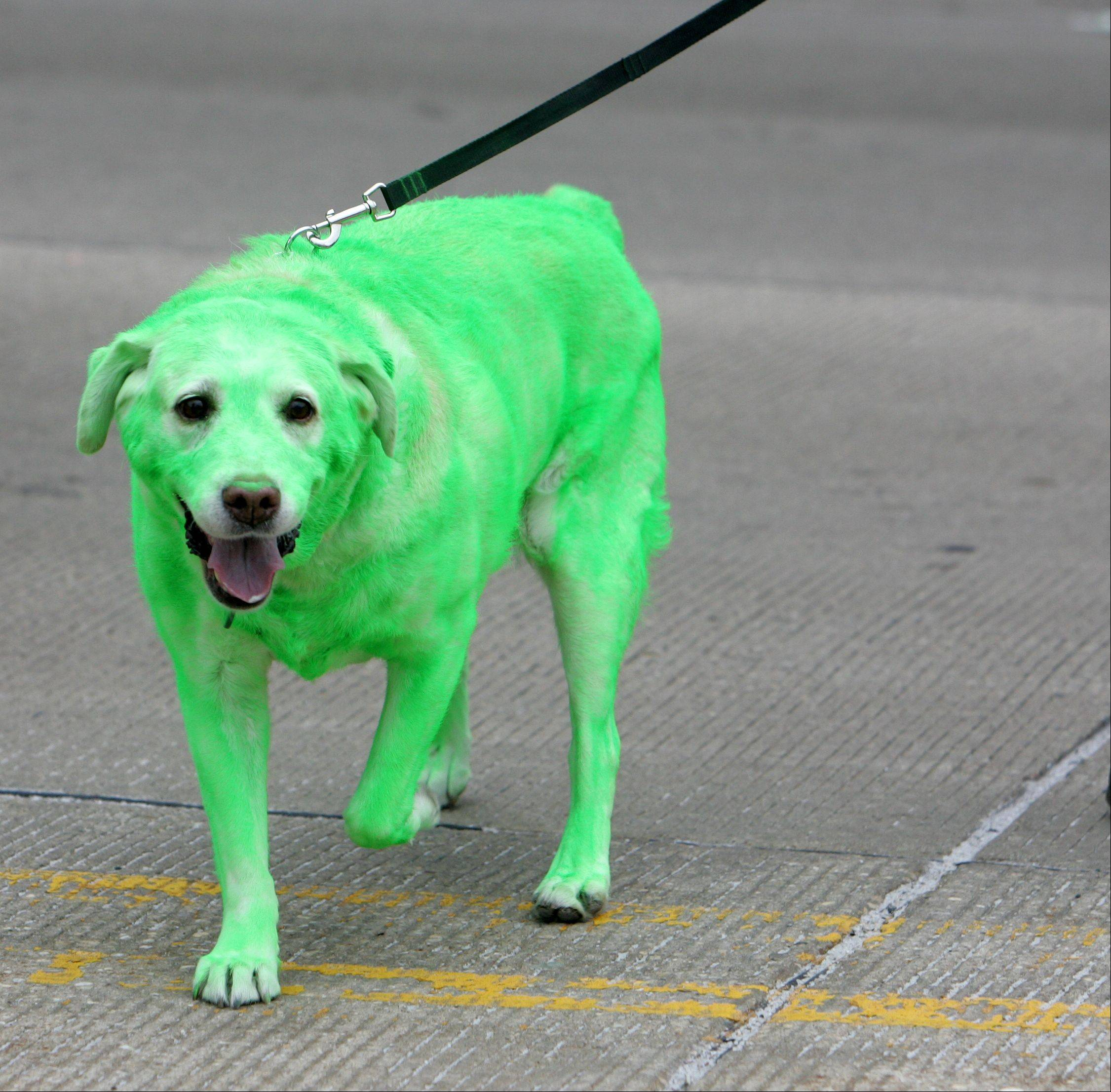 Painted green for the occasion, Maggie, a yellow lab, walks with owner Pat Gleason of Algonquin in the 2011 Thom McNamee St. Patrick's Day Parade in East Dundee.