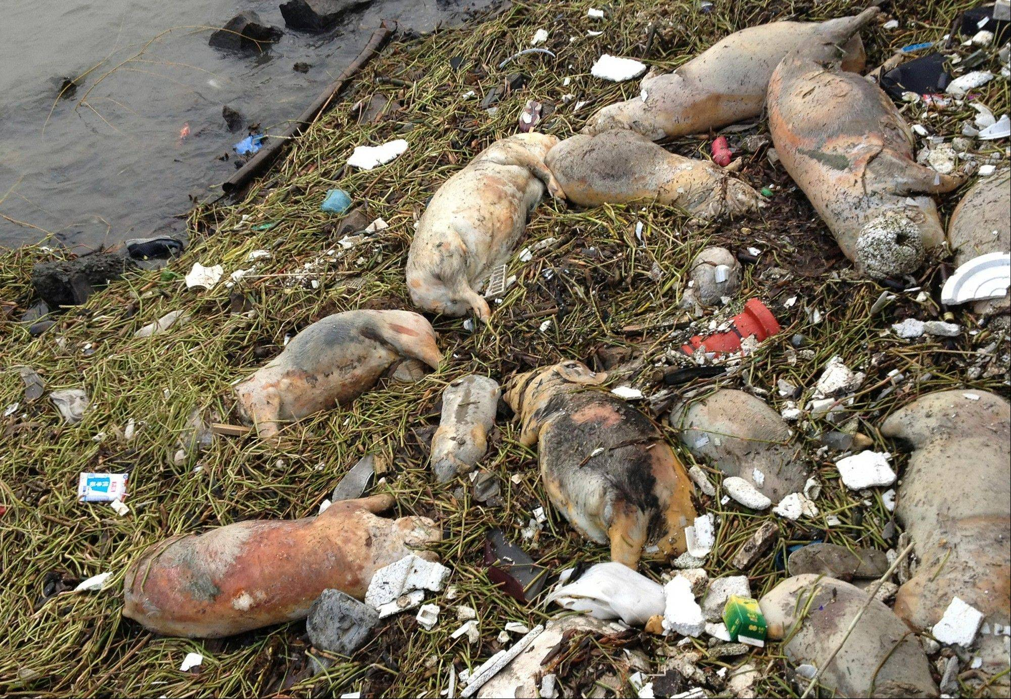 Dead pigs are strewn along the riverbanks of a Shanghair river in the Songjiang district in Shanghai, China. More than 2,800 carcasses have been found floating into the financial hub through Monday.