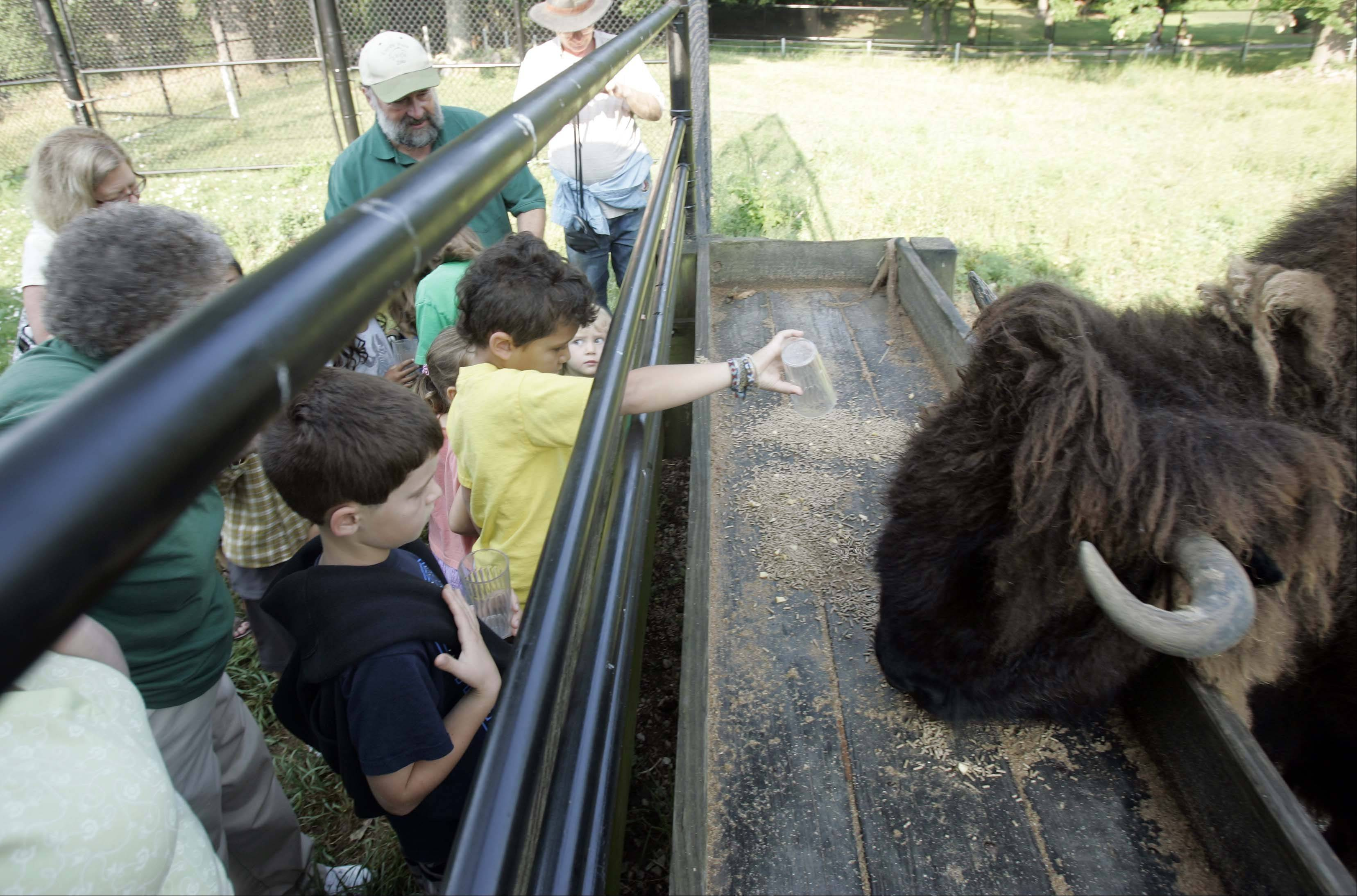 Brian Hill/bhill@dailyherald.com  Five-year-old Eden Long of Elgin dumps his cup of food for Po-Key the bison during feeding last summer at Lords Park Zoo in Elgin. The bison was euthanized Tuesday.