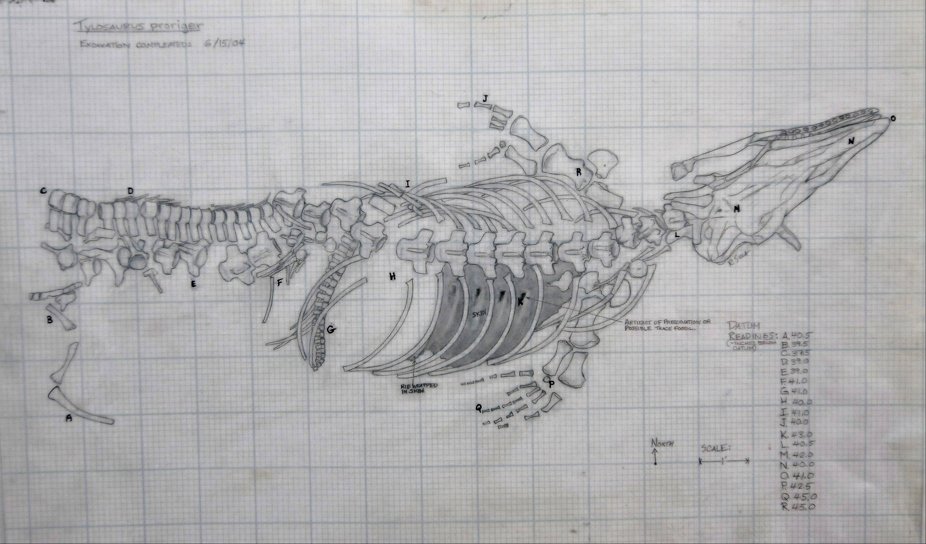 Rob Sula's site map of the tylosaurus he found shows each bone painstakingly drawn in its exact location.