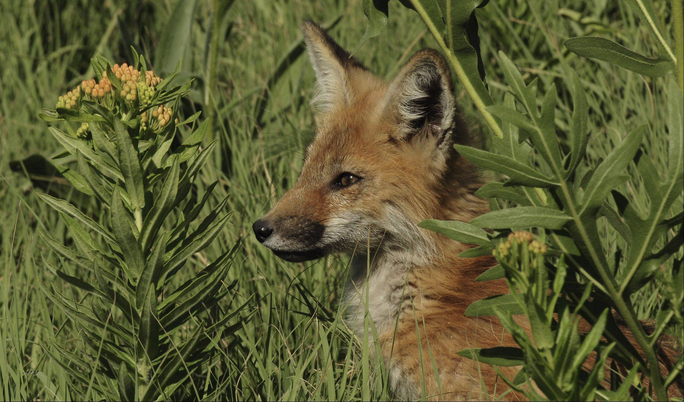 A fox kit sits among butterfly weed and compass plant near the Fox River in Geneva.