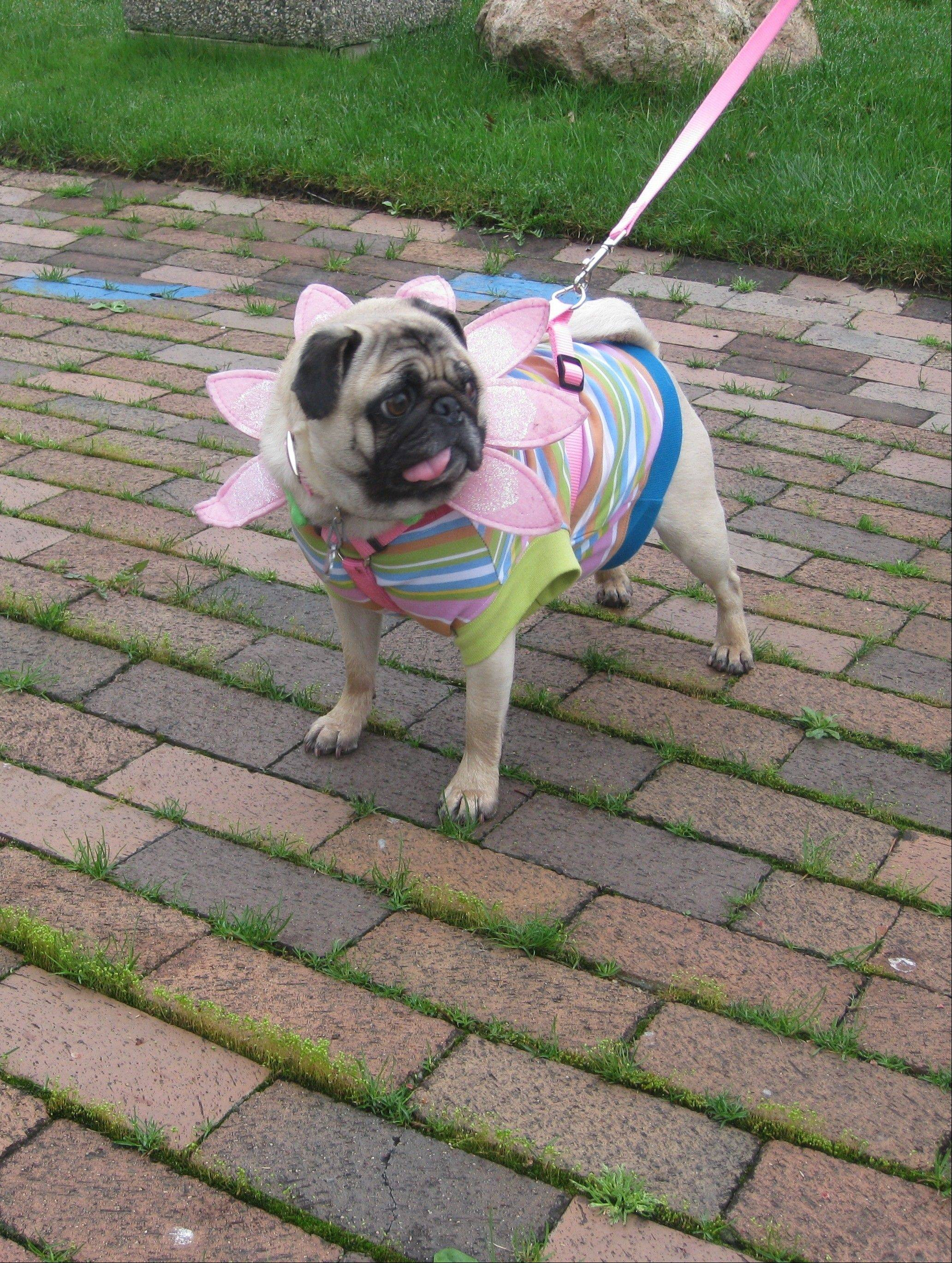 The Elk Grove Park District holds a special Doggy Egg Hunt and spring costume parade at the Al Hatterndorf Center on Saturday, March 16.