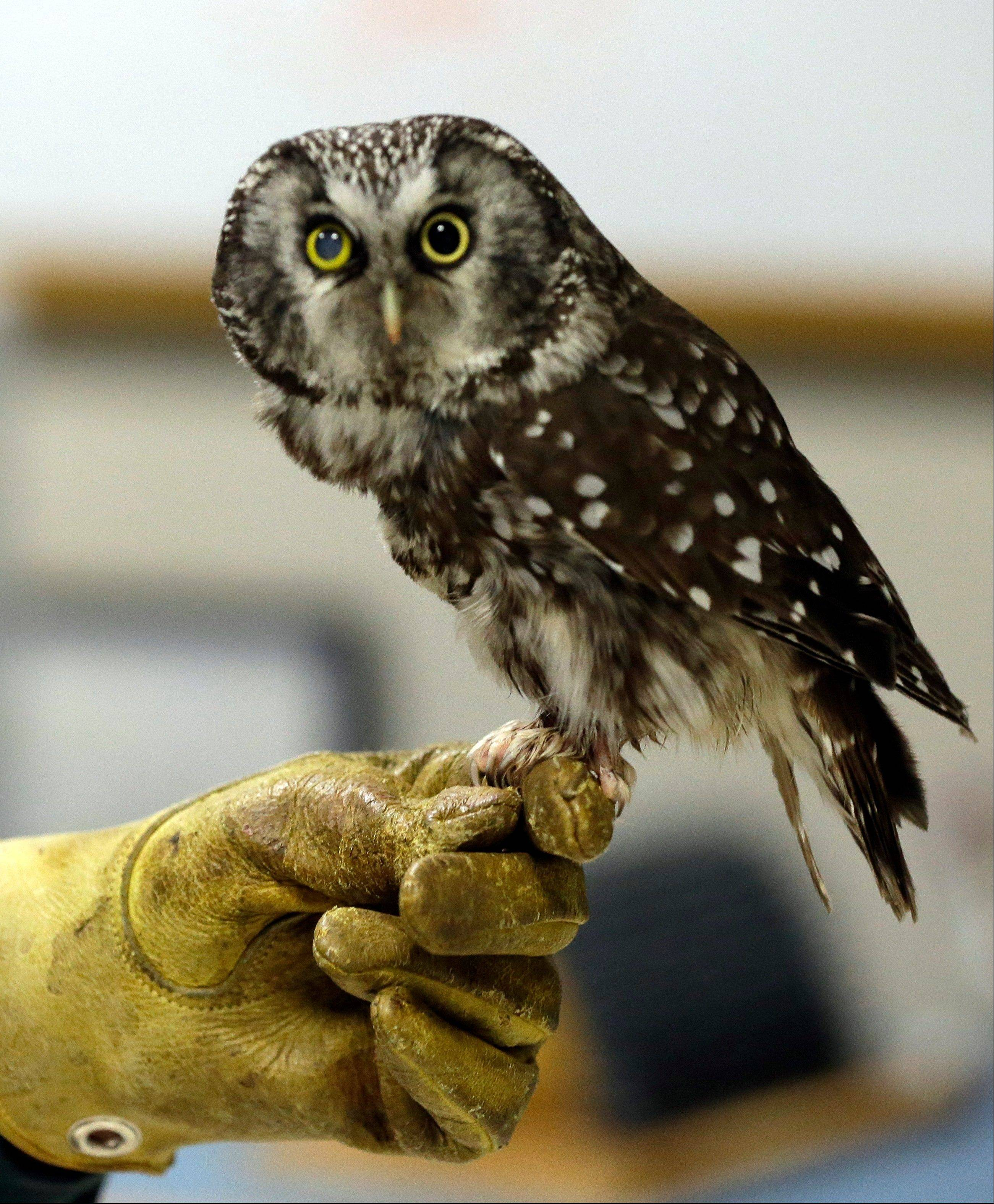 Boreas, an injured boreal owl, sits Wednesday on a handlers hand at the Raptor Center on the St. Paul campus of the University of Minnesota.