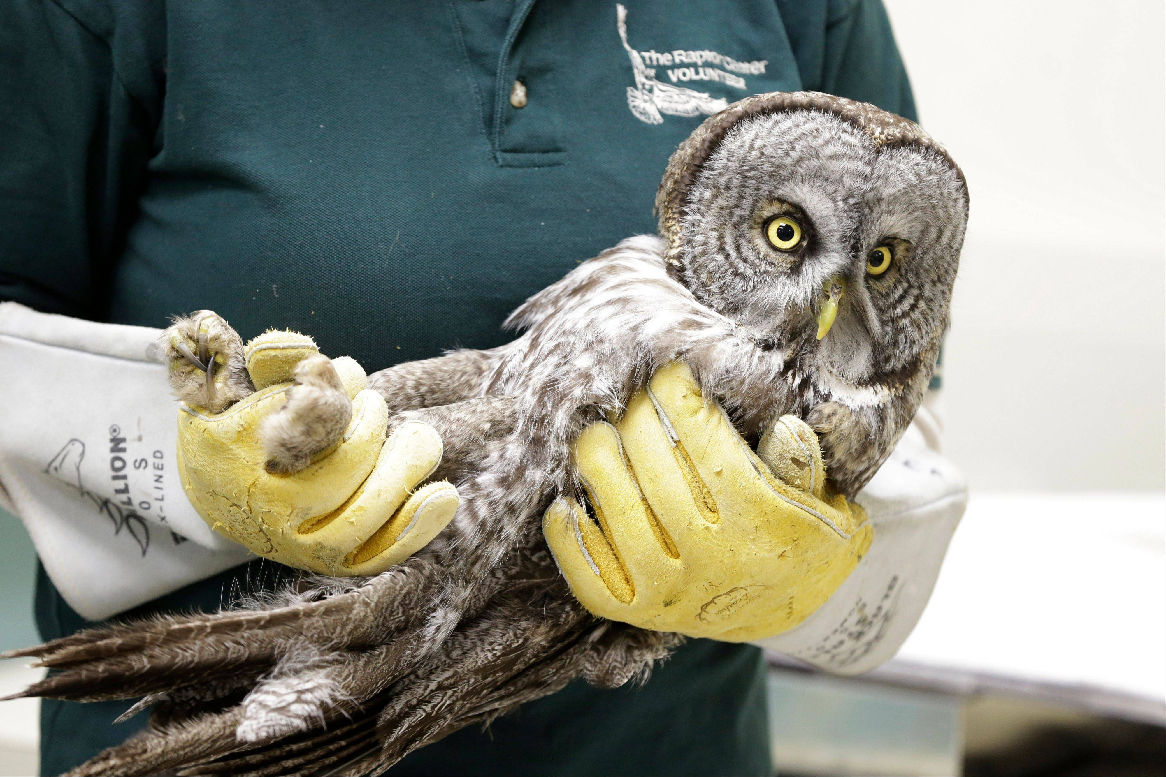 A great gray owl is carried into a exam room for a check of its condition Wednesday.