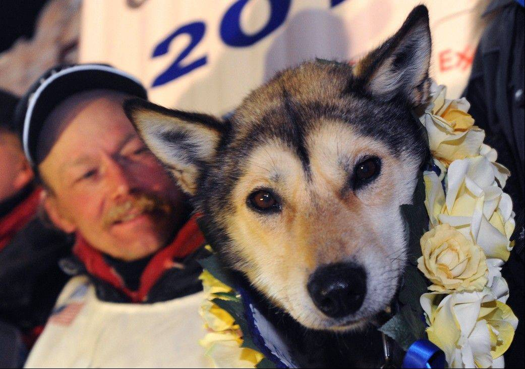Mitch Seavey holds one of his lead dogs, Taurus, as he poses for photographers at the finish line of the Iditarod Trail Sled Dog race in Nome, Alaska, Tuesday, March 12, 2013. Seavy became the oldest winner and a two-time Iditarod champion.
