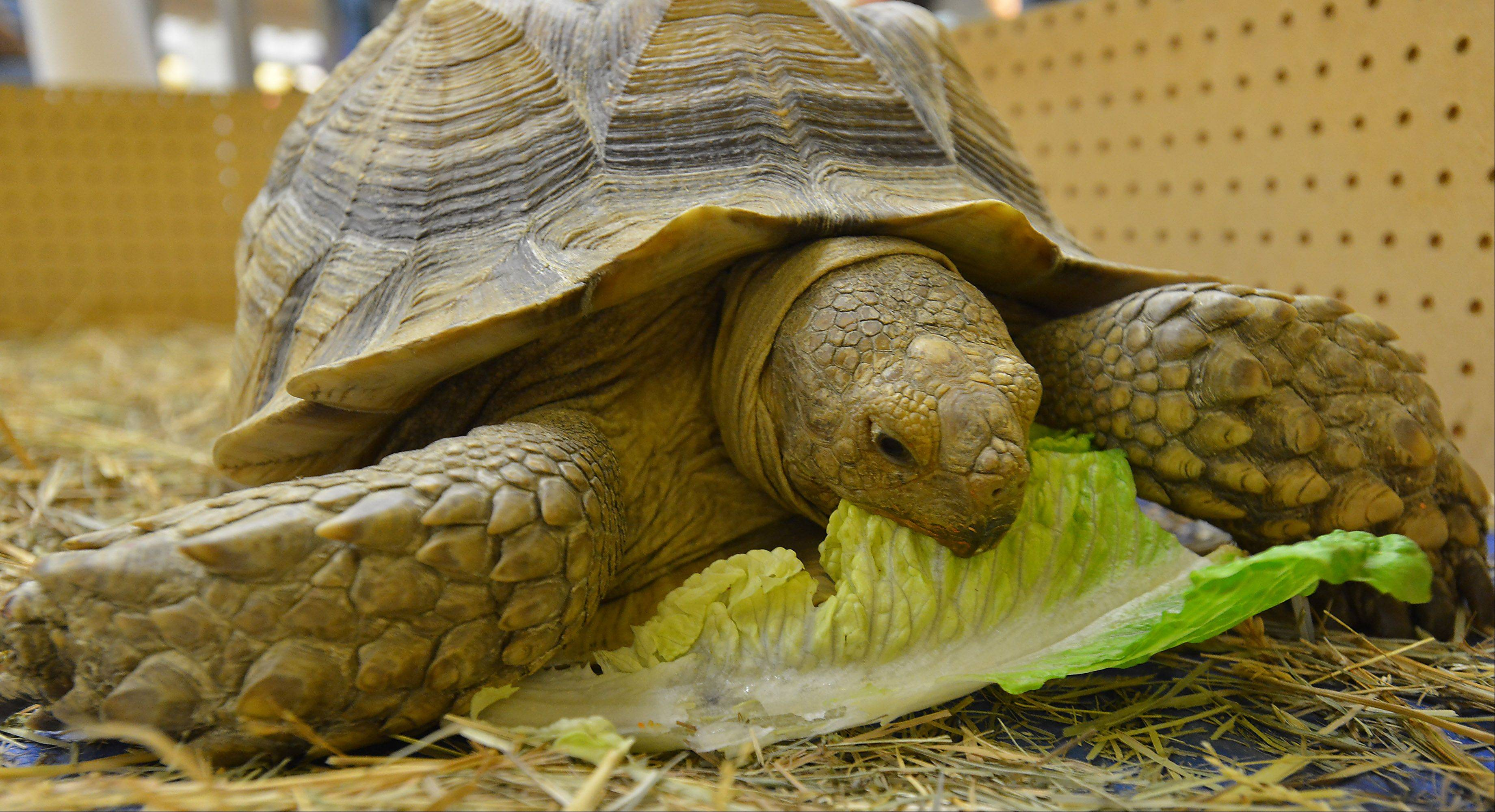 An African Spur Thigh Tortoise, the third largest in the world.