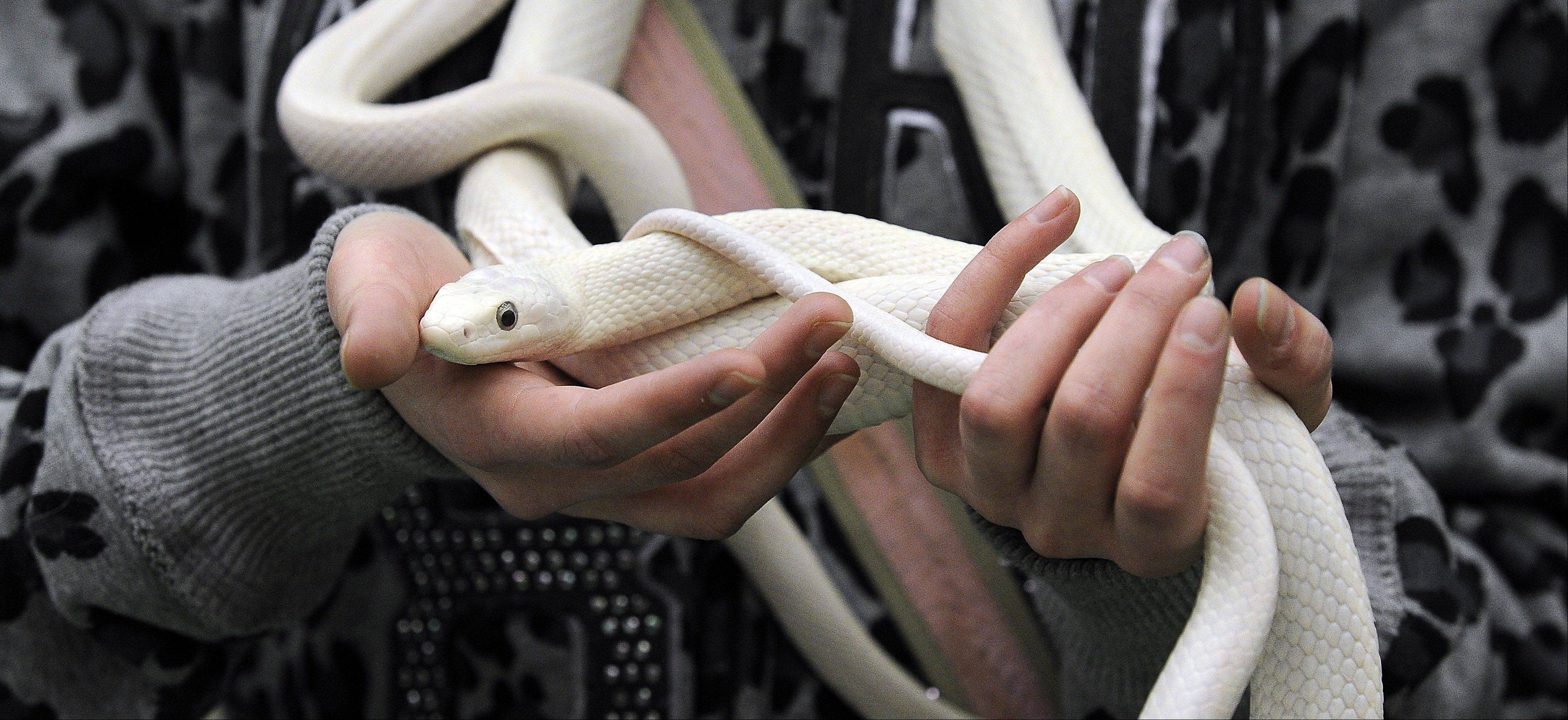 Ashleigh Roese,14, of Schaumburg holds a White Texan Rat snake.