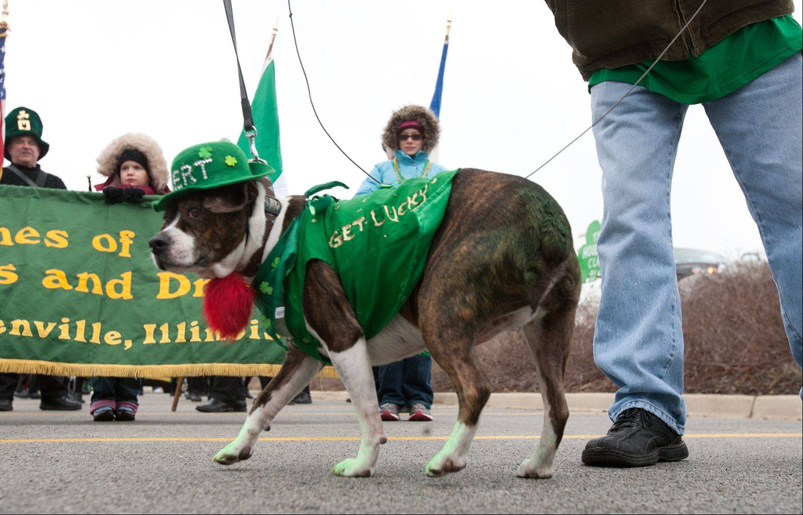 Bert, a Boston terrier Beagle mix, took part in the Naperville St. Patrick's Day parade Saturday.