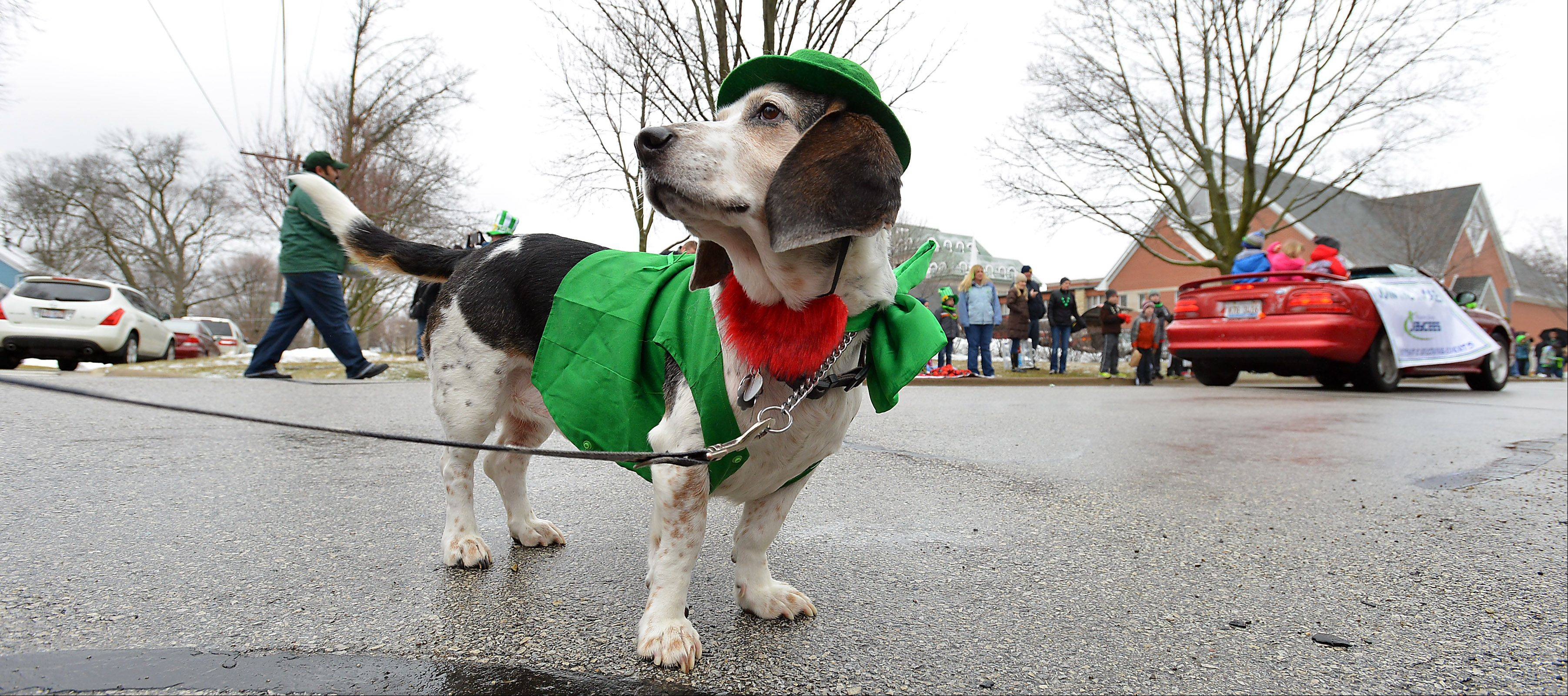 Murphy the dog tries his doggone best to enjoy the Palatine St. Patrick's Day parade despite the cold and snow showers Saturday.