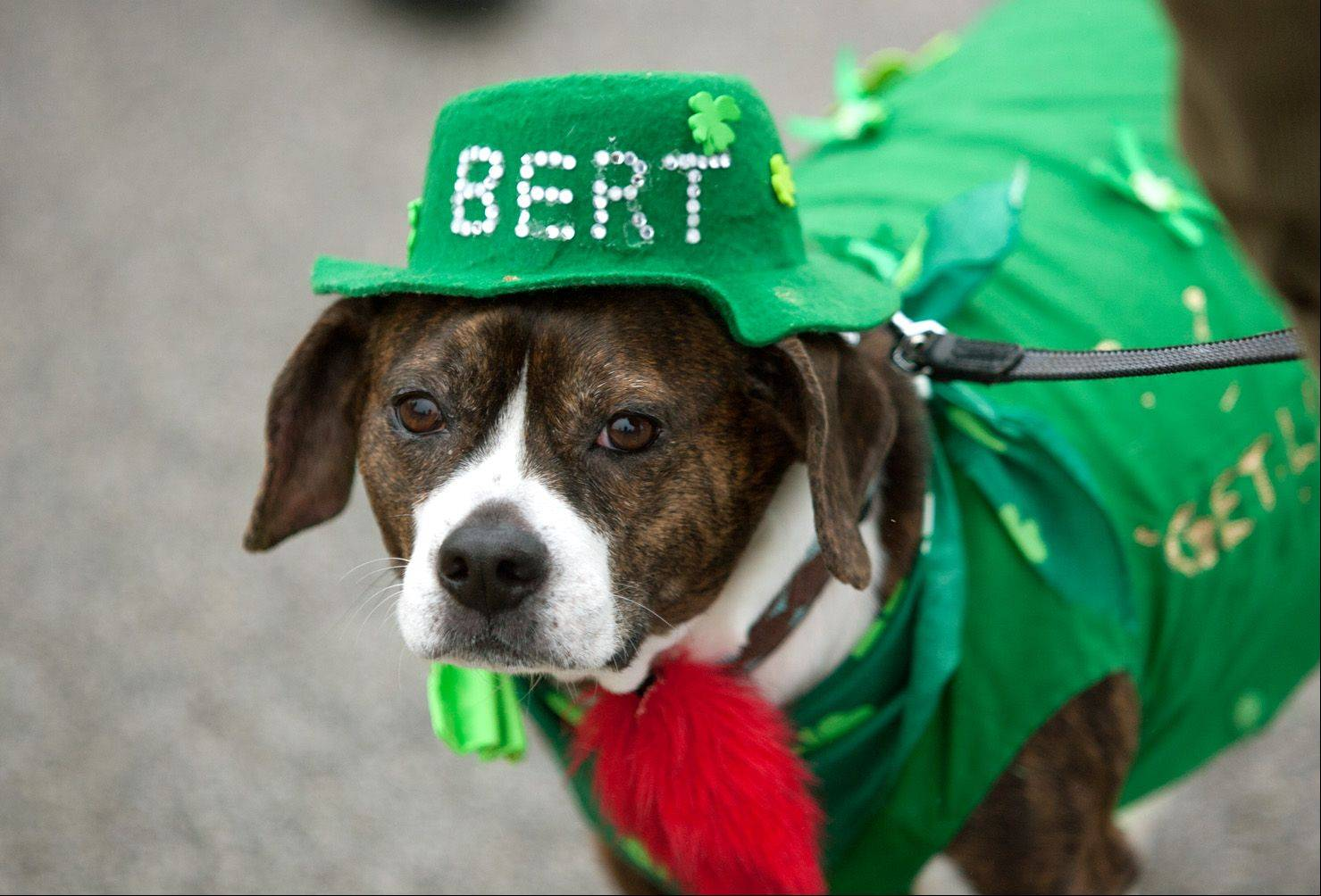Bert, a Boston terrier/beagle mix, walks Saturday in the Naperville St. Patrick's Day Parade.