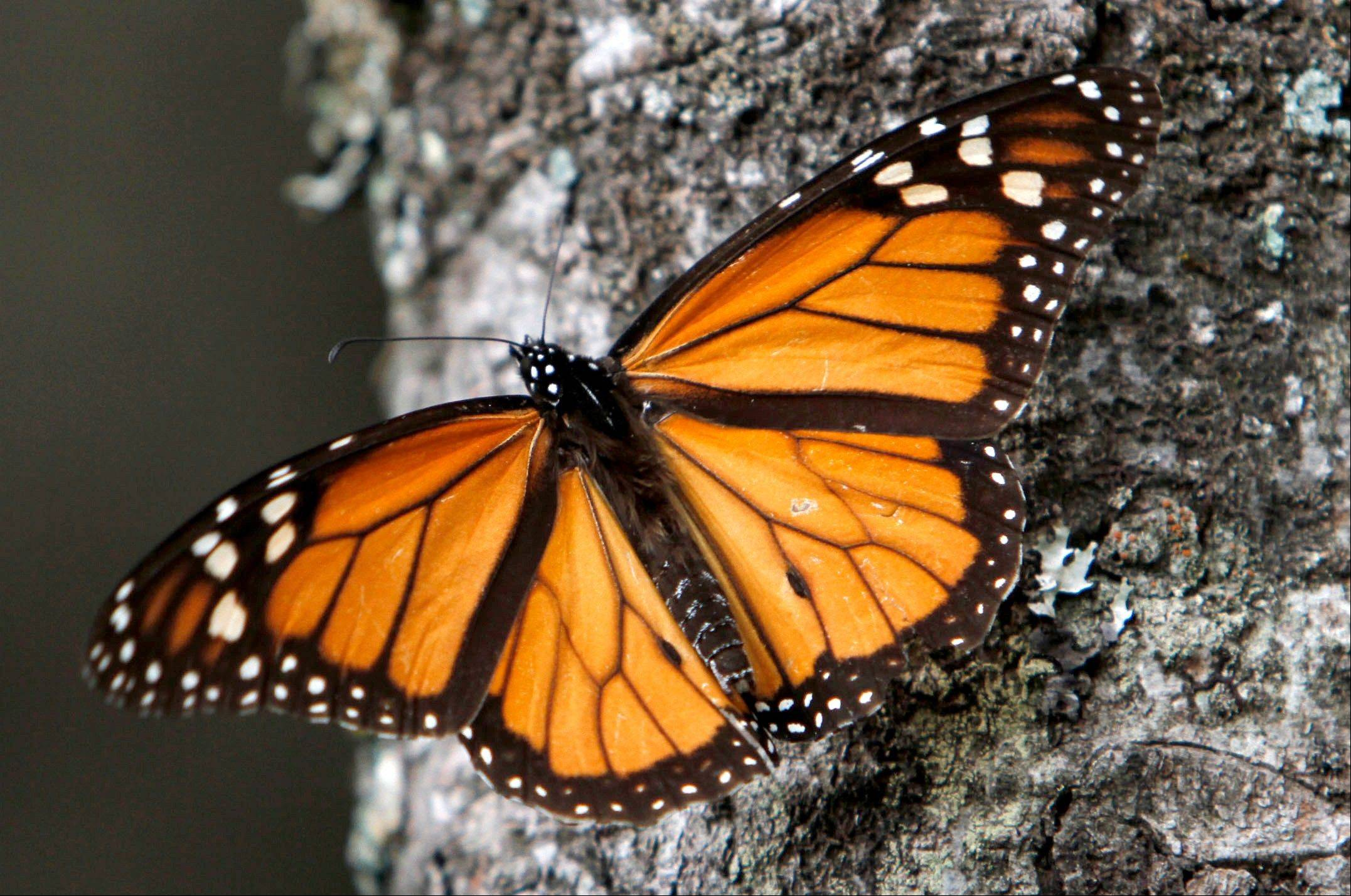 A Monarch butterfly sits on a tree trunk at the Sierra Chincua Sanctuary in the mountains of Mexico�s Michoacan state. The number of Monarch butterflies wintering in Mexico dropped 59 percent in 2013, falling to the lowest level since comparable record-keeping began 20 years ago, scientists reported.