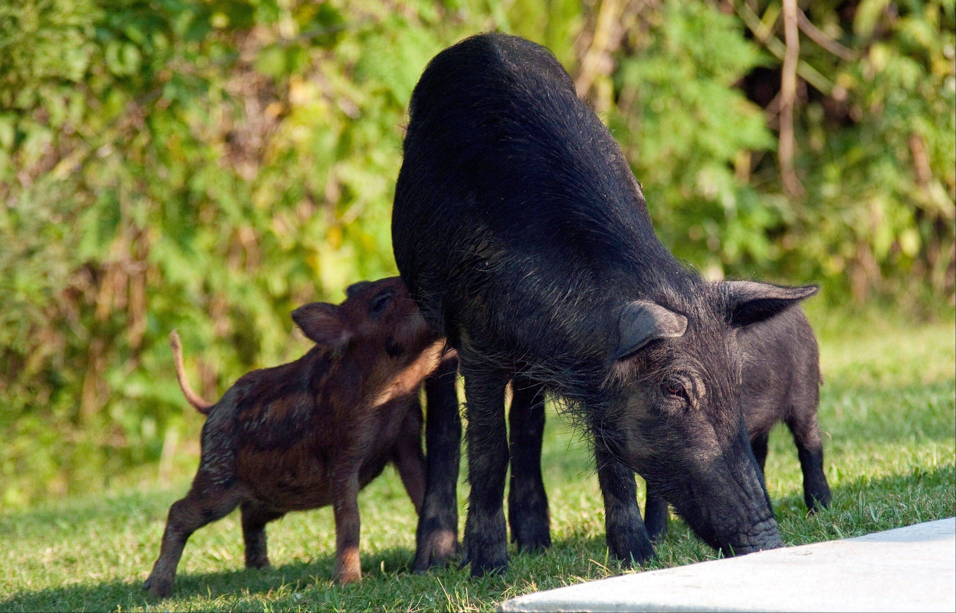 Afamily of pigs invading the Palmetto State Park's camp grounds in Abbeyville, La. T