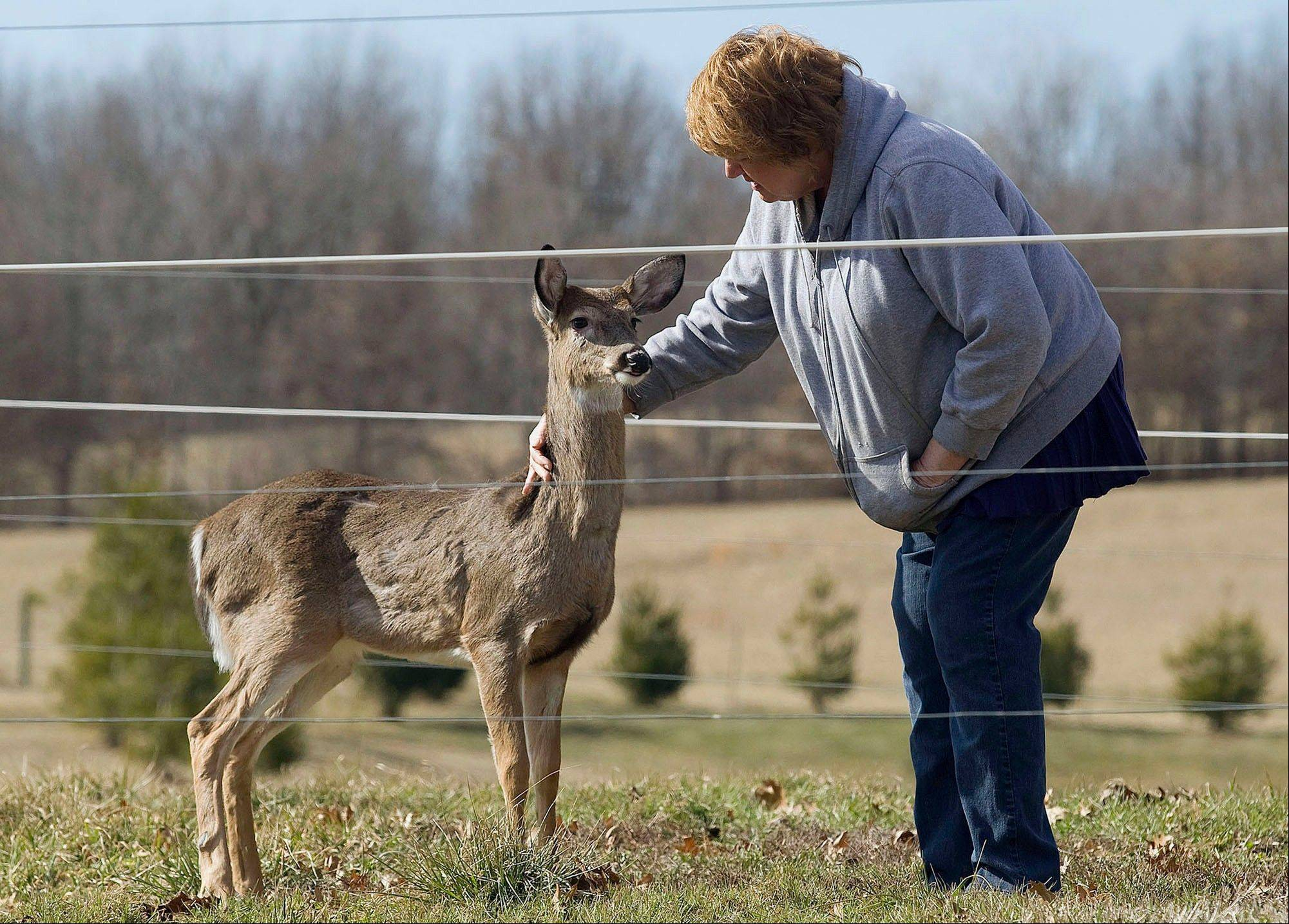 A state licensed wildlife rehabilitator Anne Eddings pets a deer returning to her just after she released it into the wild from a stint of rehabilitation at the Eddings� rural property near Herrick