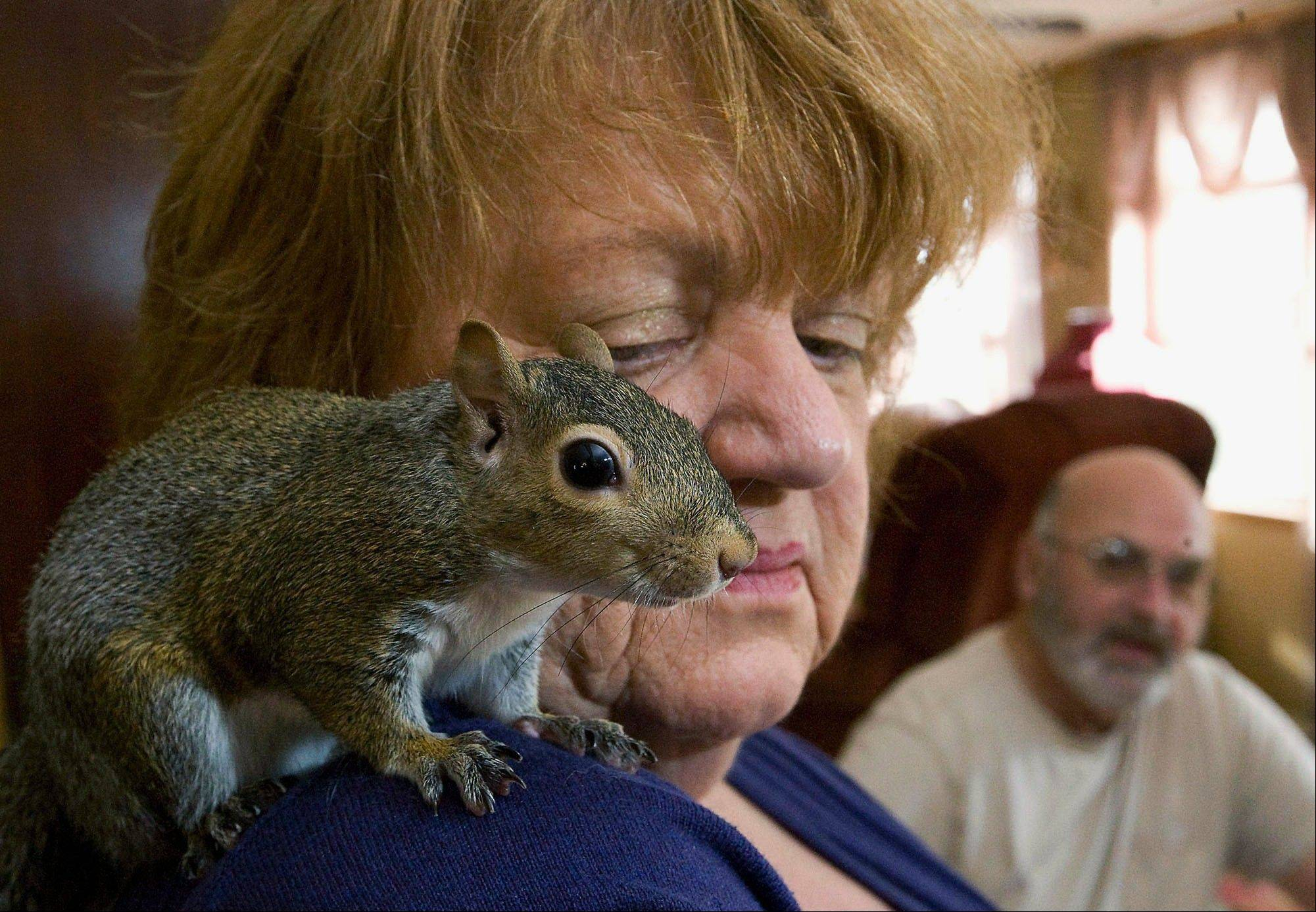 "Anne Eddings with a gray squirrel named ""Timmie,"" as her assistant and husband, Ron, looks on at their rural property near Herrick."