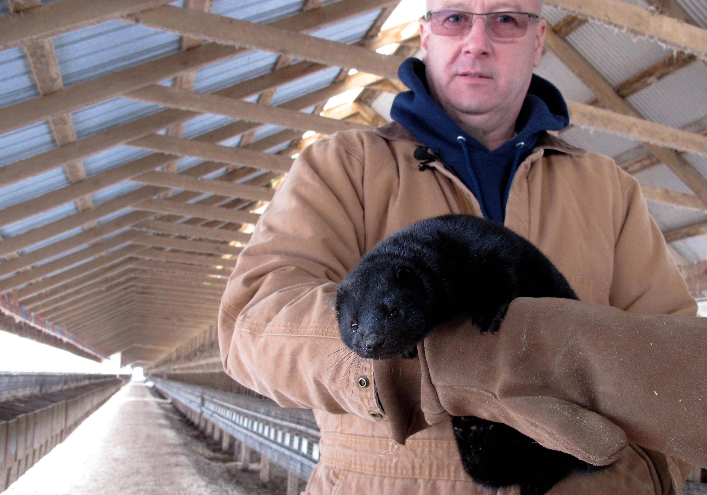 Bob Zimbal holds one of his minks near rows of cages at his fur farm in Sheboygan Falls, Wis.
