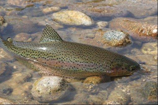 More than 40 lakes, creeks and ponds are stocked with rainbow trout in anticipation of this season's fishing opener.