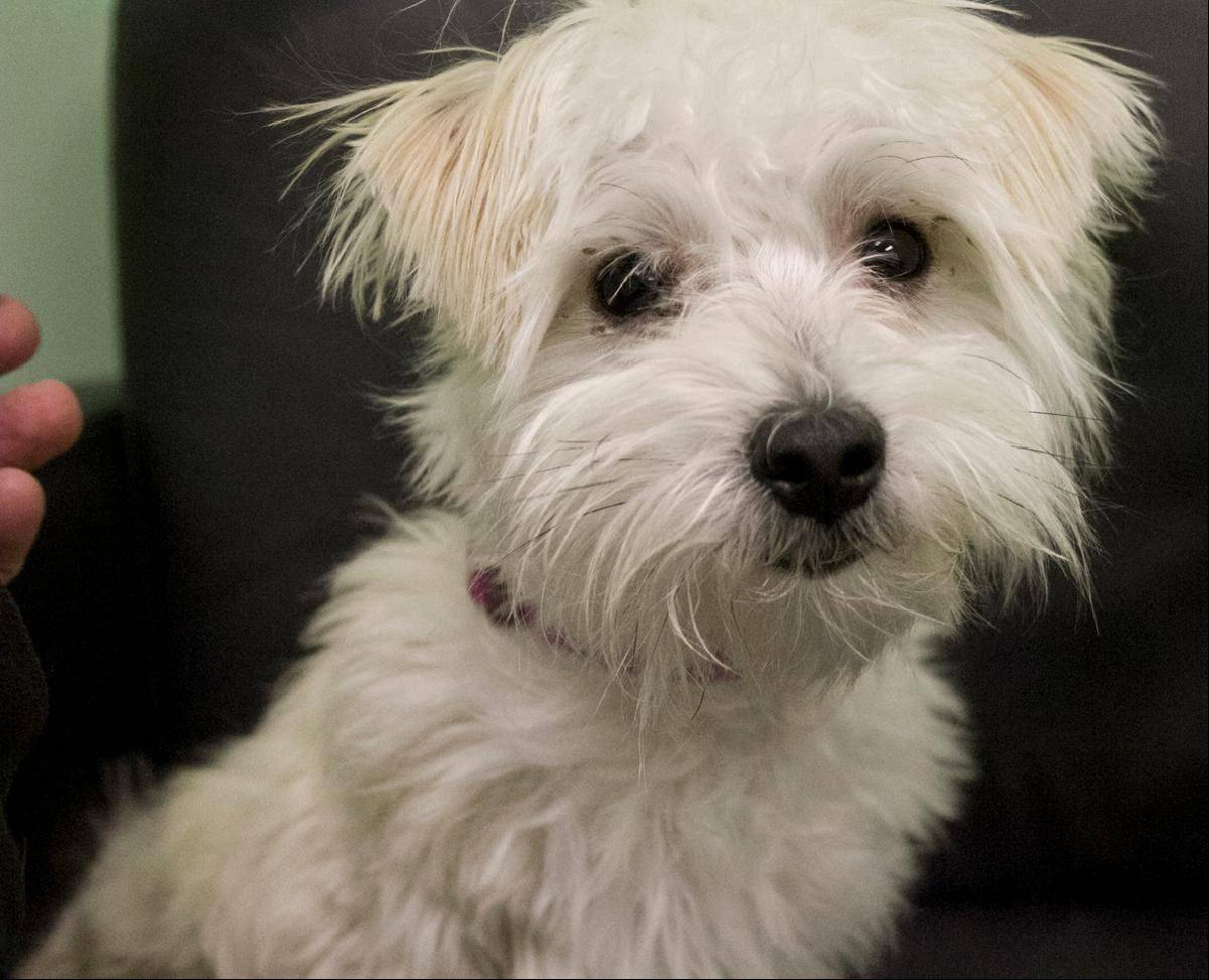 Simba, a male, eight pound, Yorkshire terrier, is 7 months old.