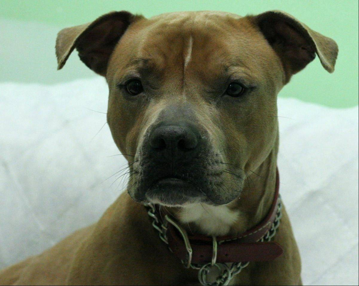 Marty, a male pit bull terrier, weighs 61 pounds and is 2 years old.