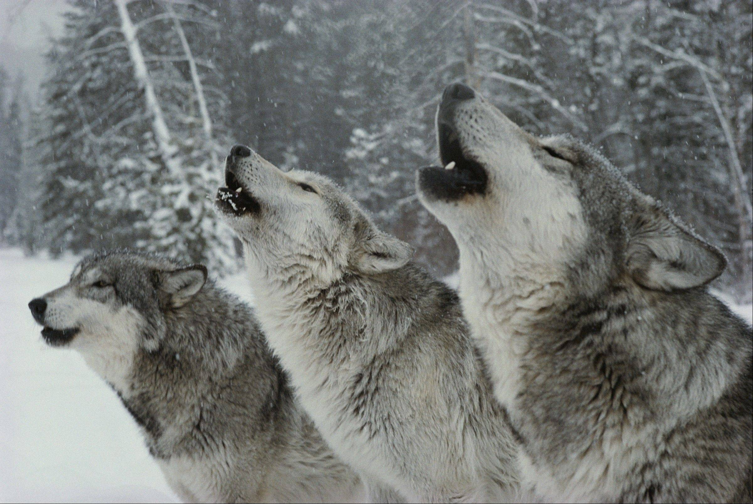 "Members of the Sawtooth wolf pack howl together in the wild. Learn more about the pack in the ""Living with Wolves"" exhibit, opening Friday, March 22, at The Field Museum."