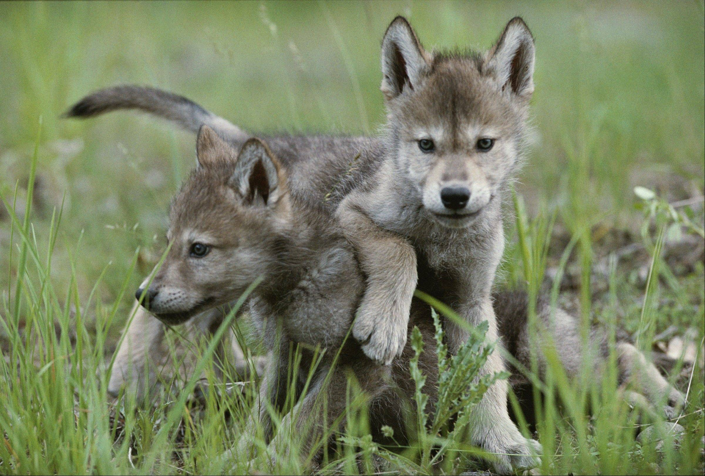 "Wild wolf pups, photographed by Jim and Jamie Dutcher, are featured in the new ""Living with Wolves"" exhibit at The Field Museum."