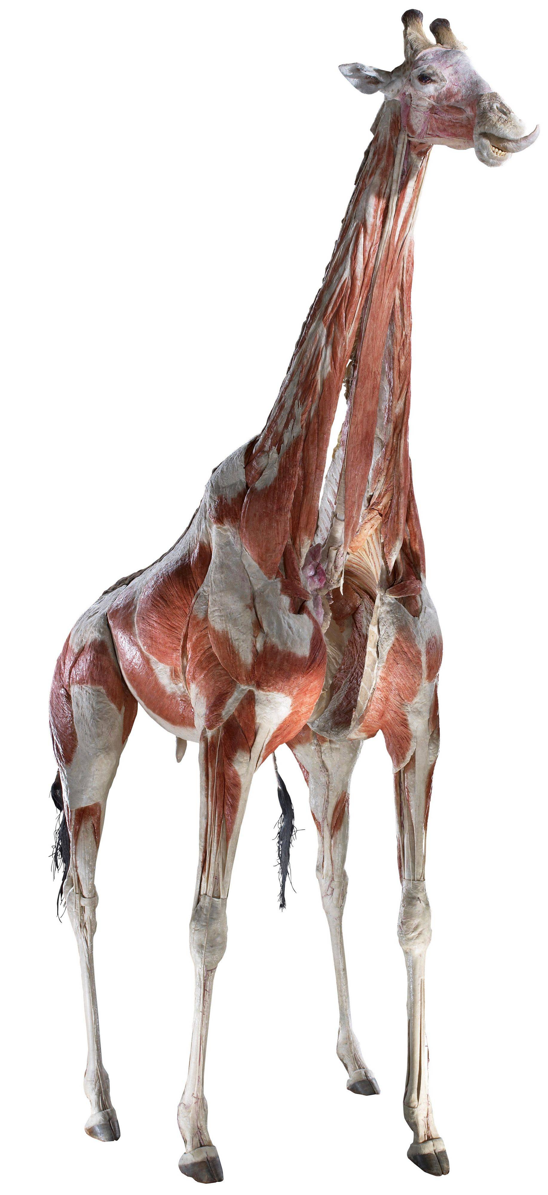 "Get an up-close look at the layers of tissue under a giraffe's skin at the ""Animal Inside Out"" exhibit at the Museum of Science and Industry."