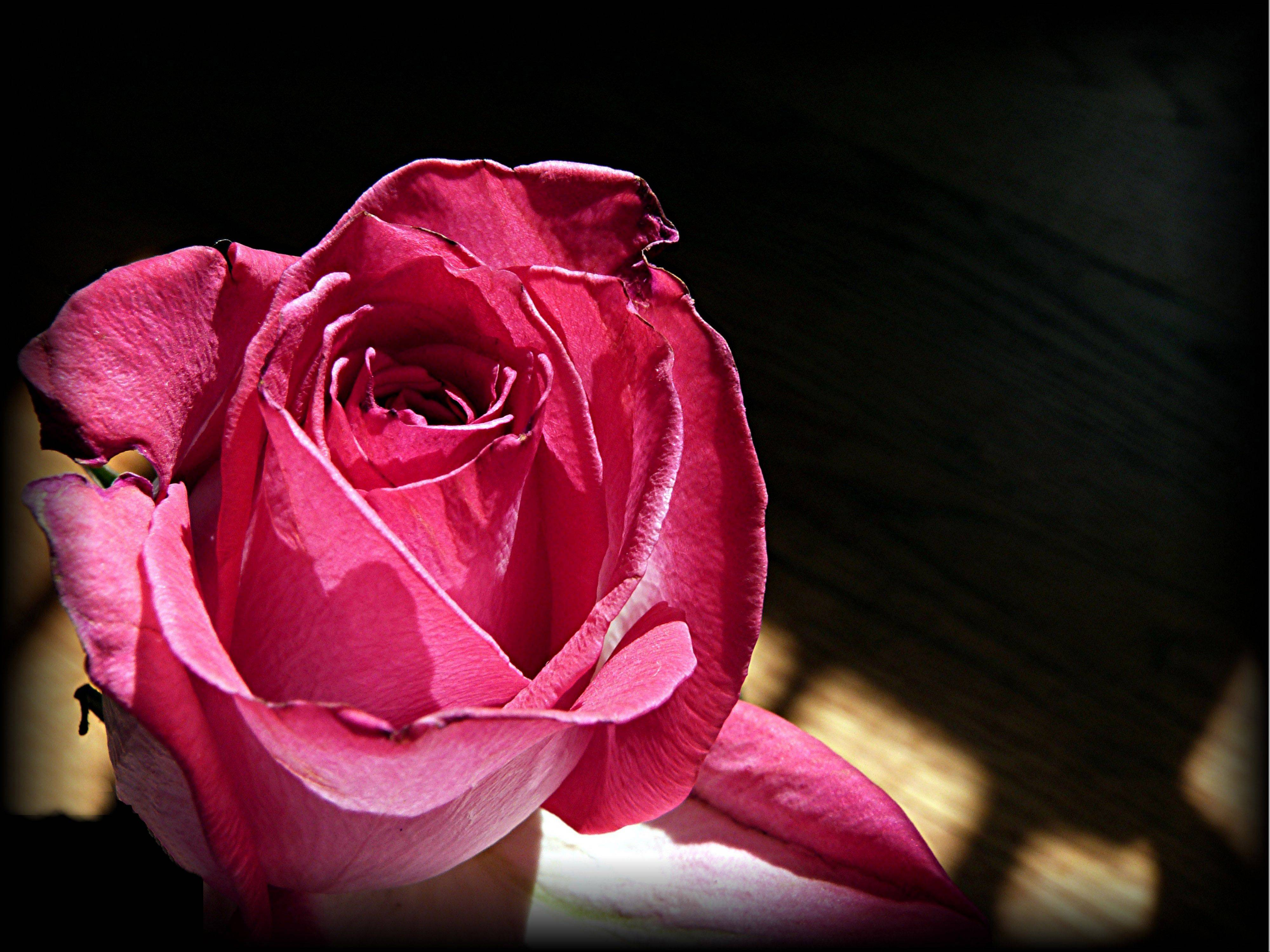A single rose left after Valentine's Day with signs of age but its fragrance not waning.