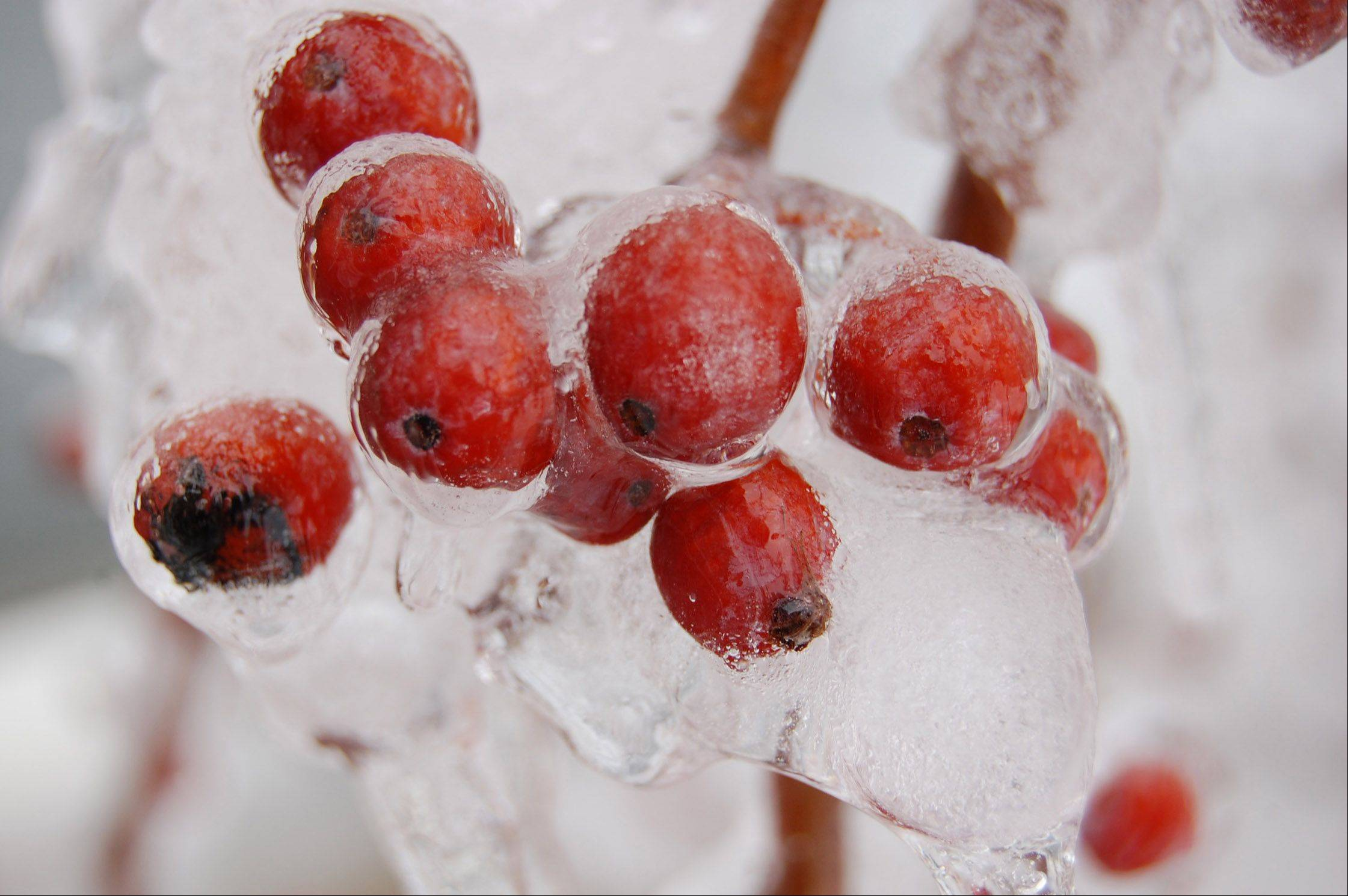 Berries are encased in ice on February 9th in a field in Lakemoor.