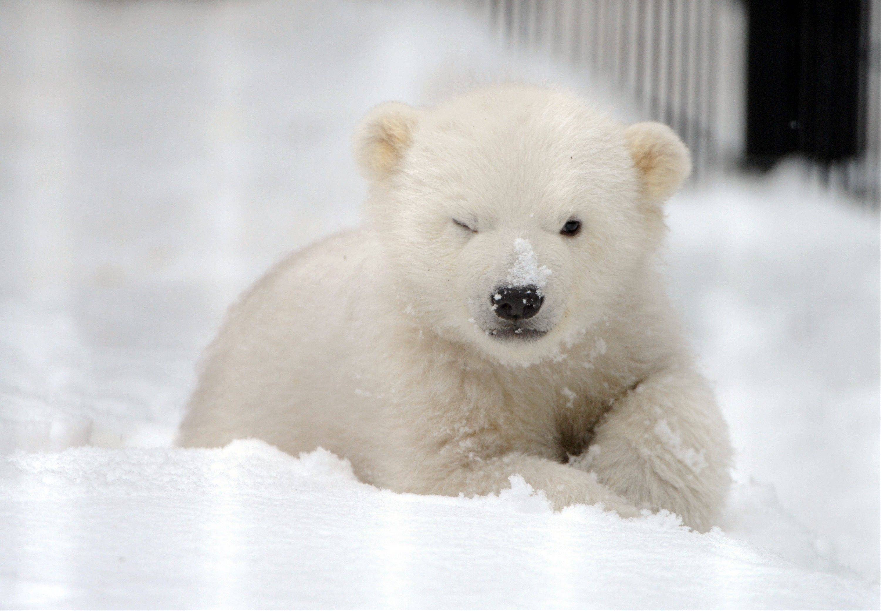 Kali, the orphaned male polar bear cub from Point Lay, Alaska, explores the enclosure outside the infirmary at the Alaska Zoo, Friday, March 22, 2013, in Anchorage, Alaska. The zoo plans to start daily public viewing of Kali on Saturday. The polar bear cub is expected to be transferred to the Buffalo Zoo sometime this spring where he will be introduced to a female cub.